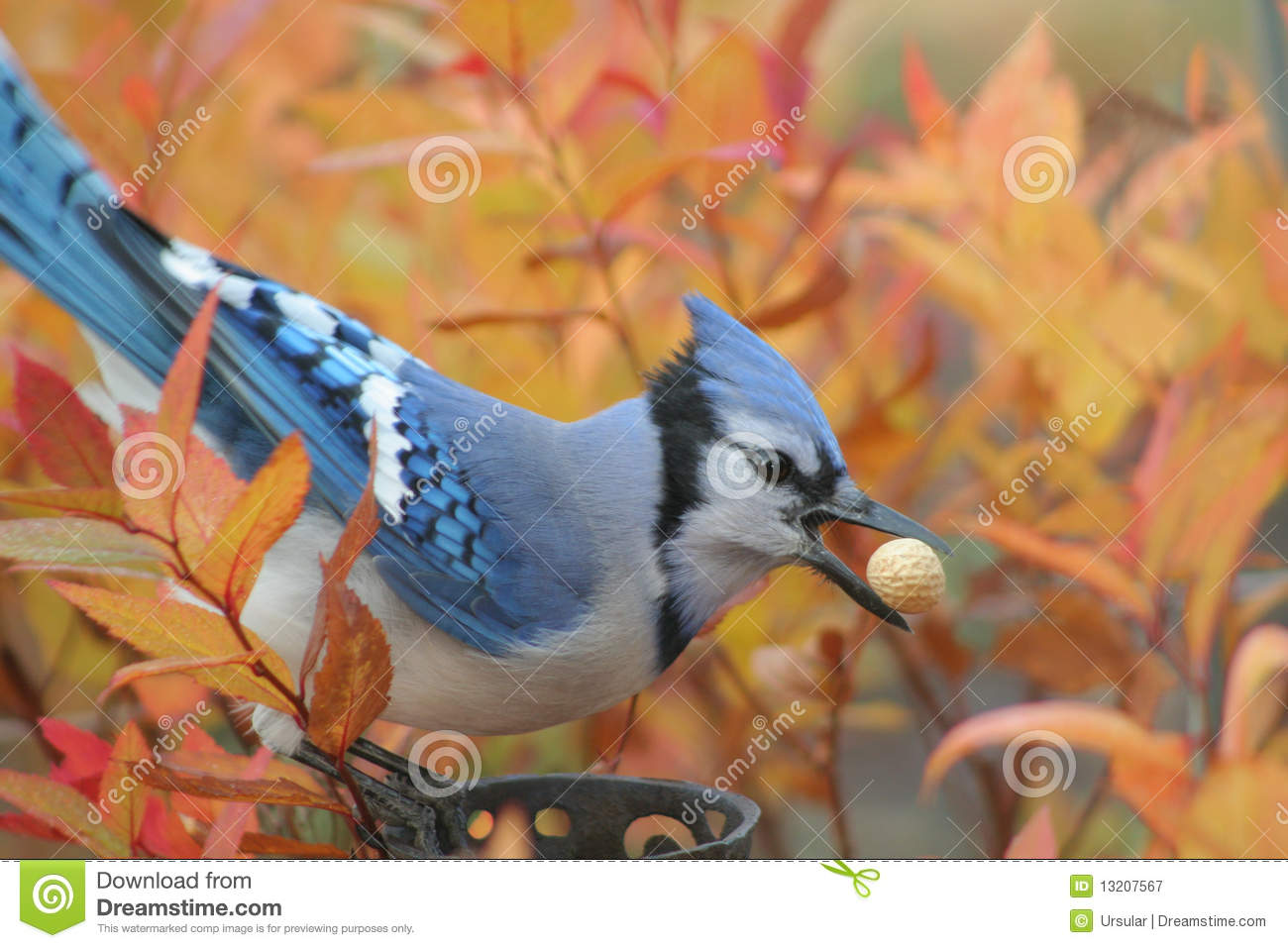 National Geographic Fall Wallpaper Blue Jay In Autumn Stock Image Image Of Blue Open Fire