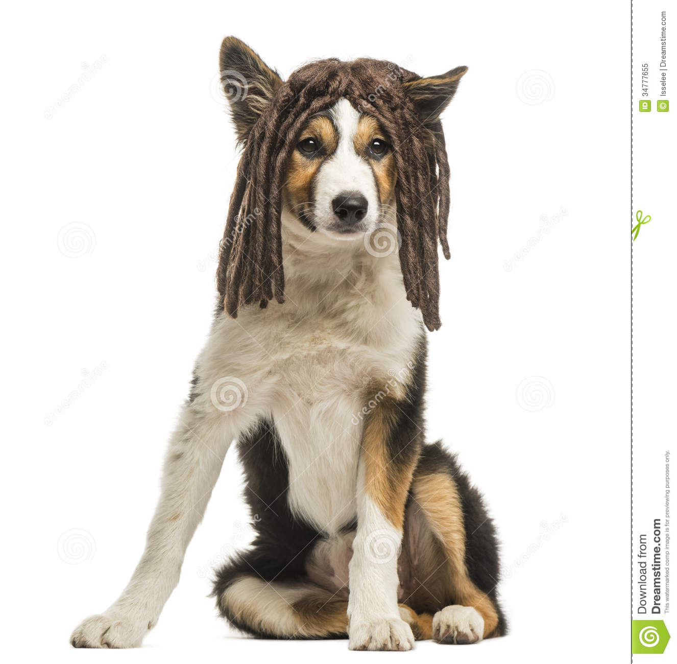Animal Print Wallpaper Border Border Collie Sitting With A Rasta Wig Isolated Stock