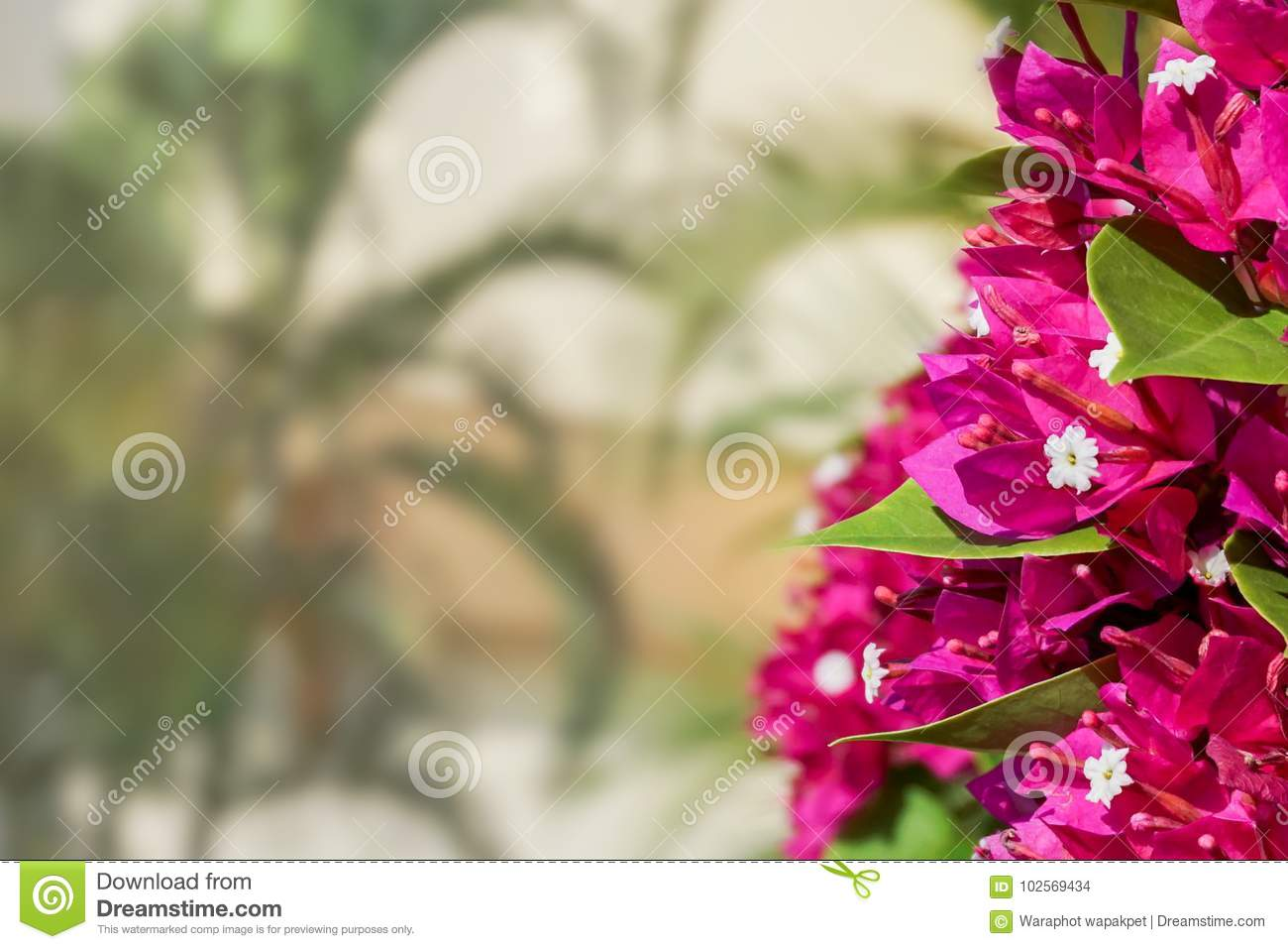 Bougainvillea Wallpaper Bougainvillea Background Stock Photo Image Of Blue 102569434