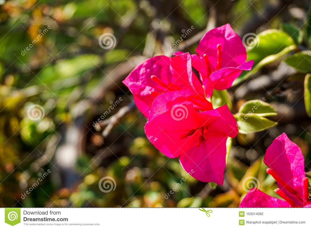 Bougainvillea Wallpaper Bougainvillea Pattern For Background Or Wallpaper Stock Photo