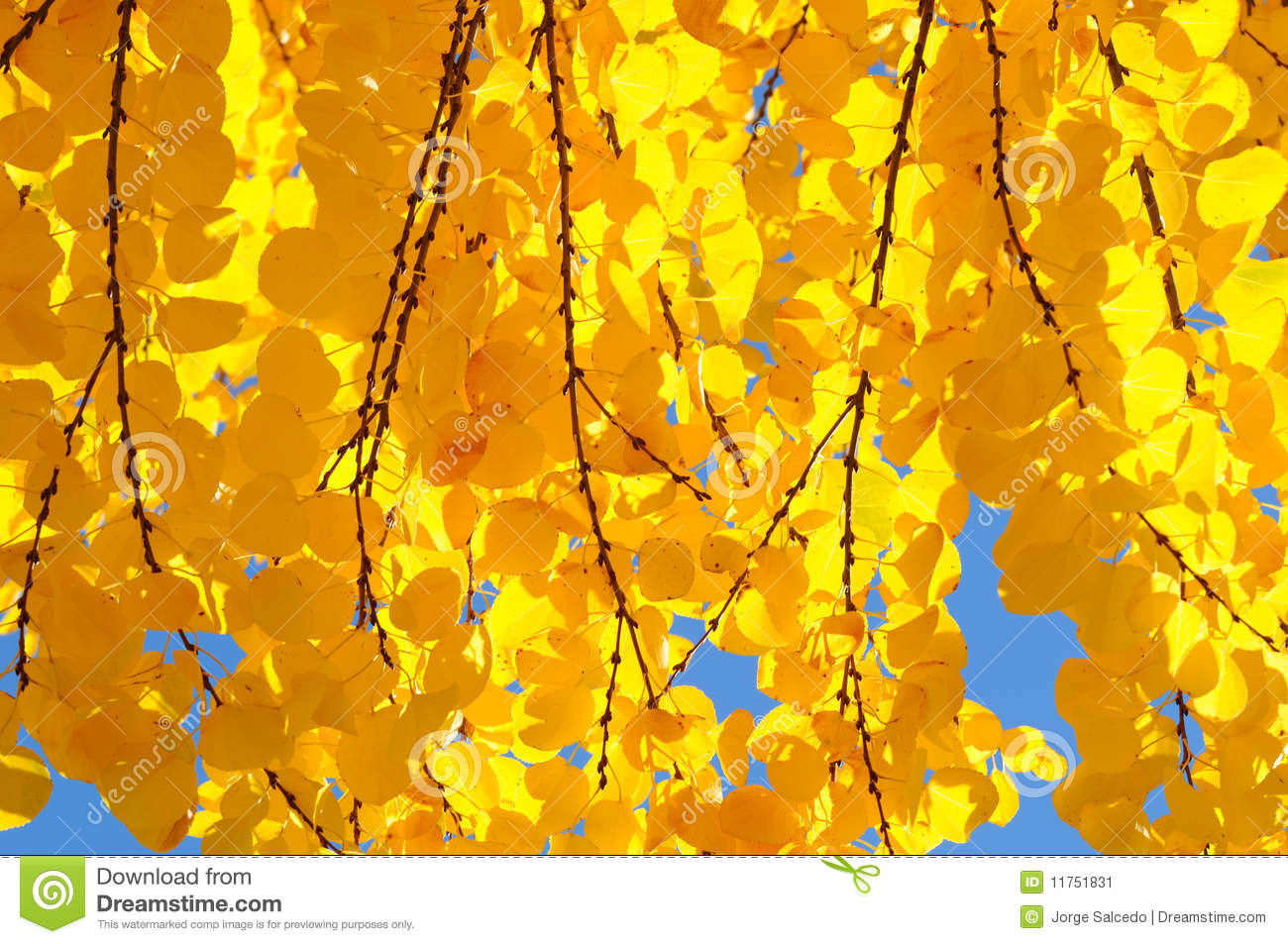 Abstract Fall Colors Wallpaper Bright Yellow Leaves Of The Katsura Tree Stock Image