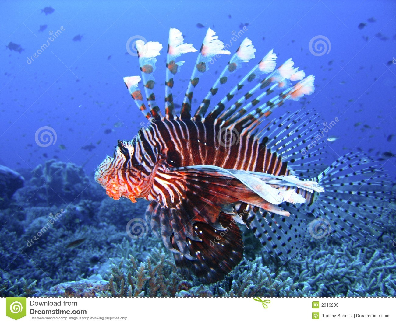Colorful Animal Print Wallpaper Brightly Colored Lion Fish In Deep Blue Water Stock Image