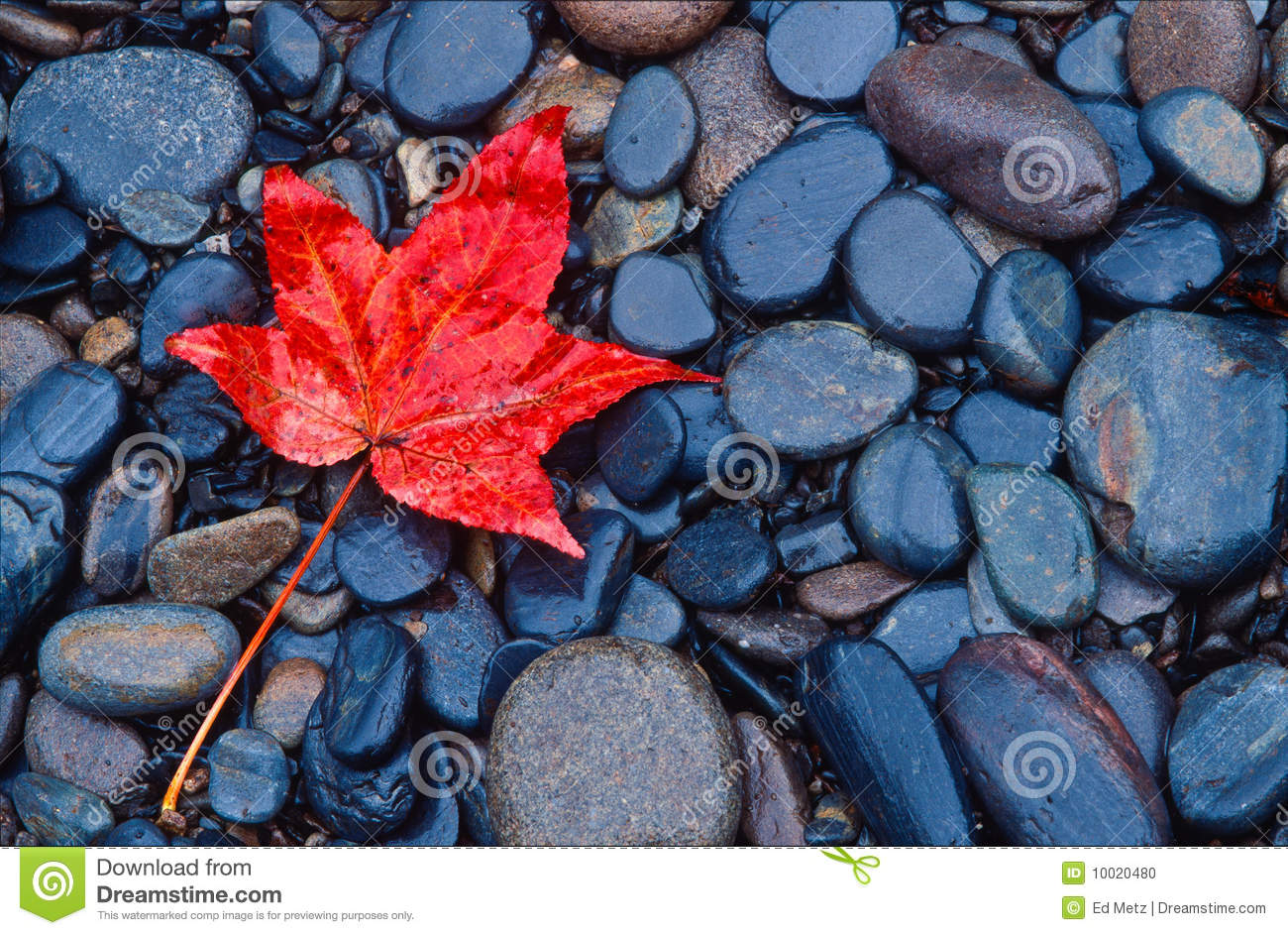 Autumn Leaf Fall Wallpaper Brilliant Red Fall Leaf On River Rocks Stock Photo Image