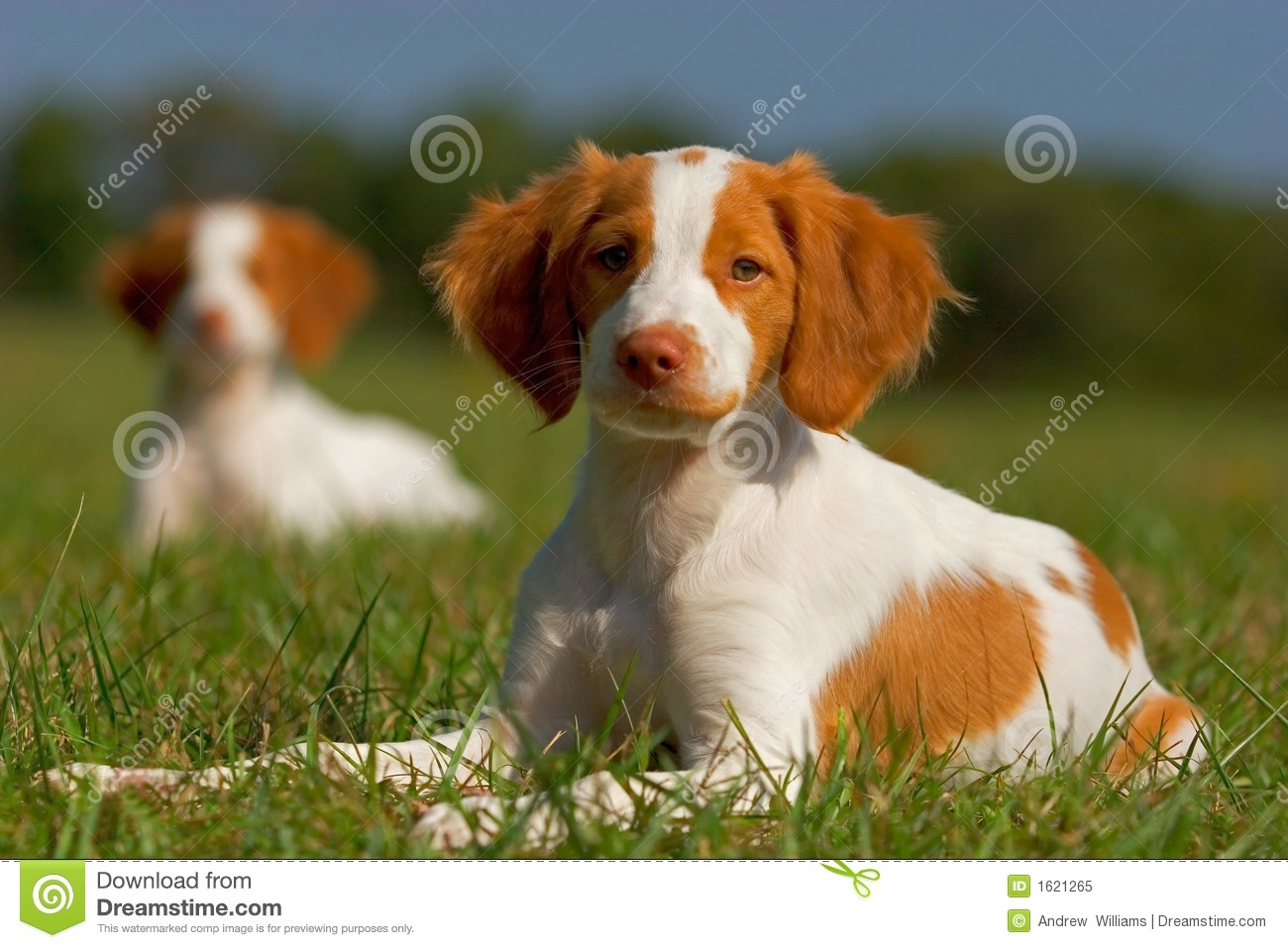 Image Forer Spaniel Pups For Sale