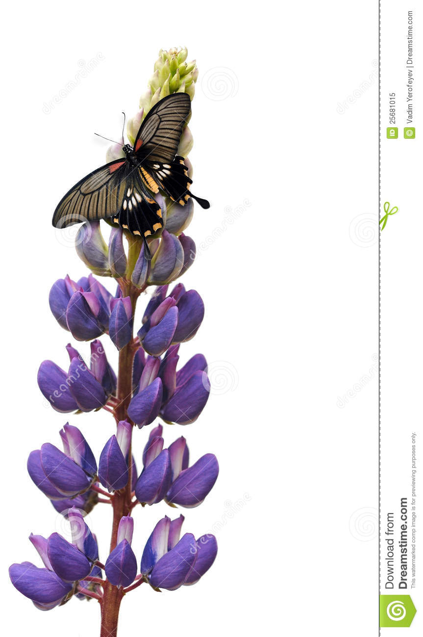 Green Animal Print Wallpaper Butterfly On Lupin Flower Royalty Free Stock Photo Image