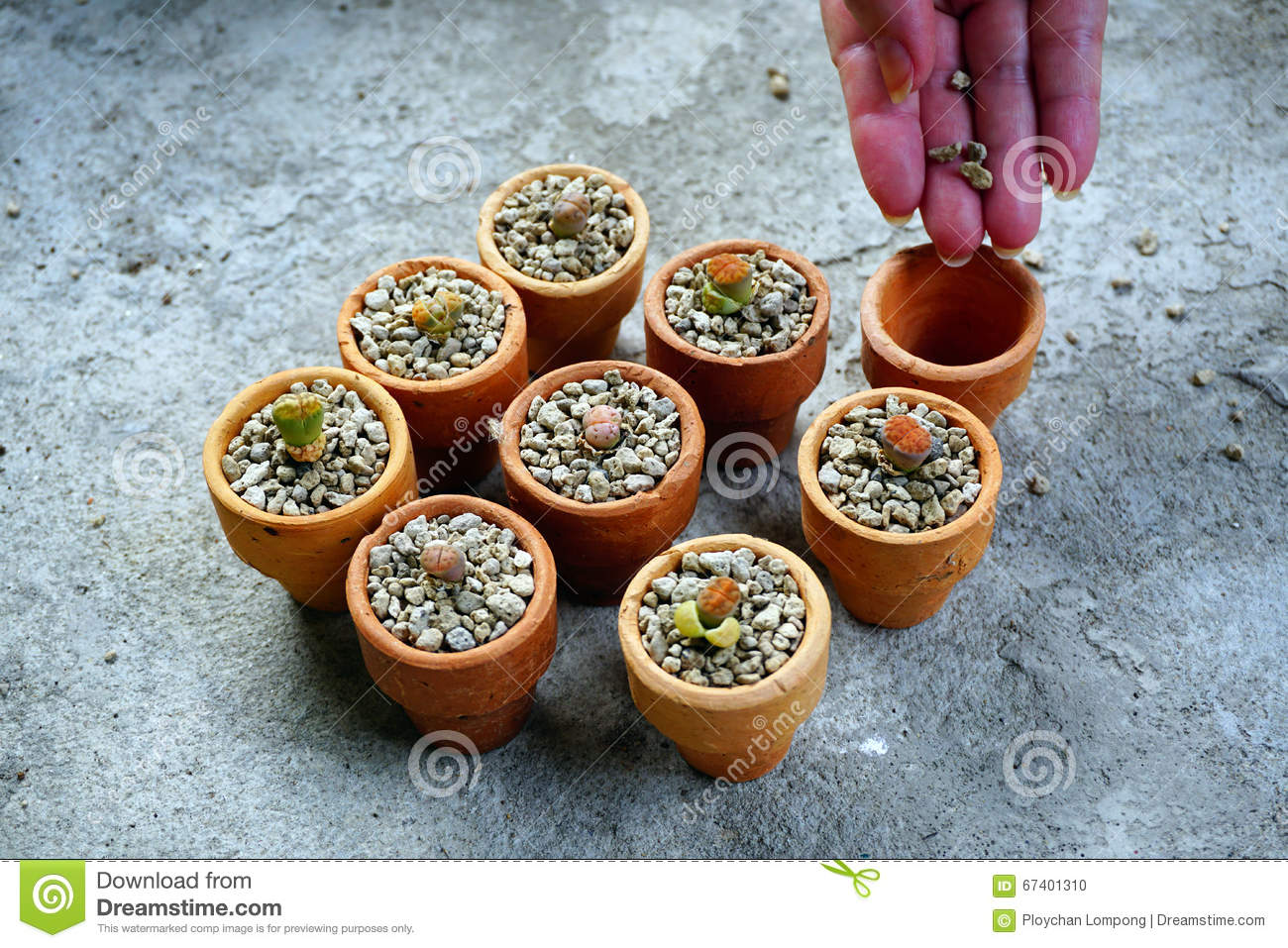 Cactus Planting Pots Cactus Lithop In Pots Stock Photo Image 67401310