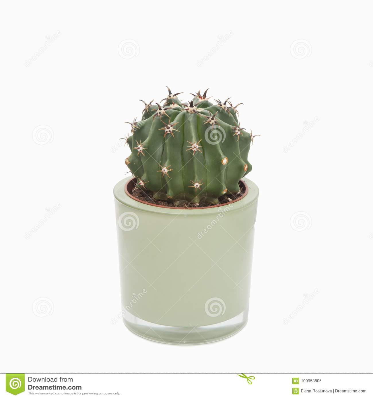 Cactus Planting Pots Cactus Plant In A Pot On A White Background Stock Image Image Of
