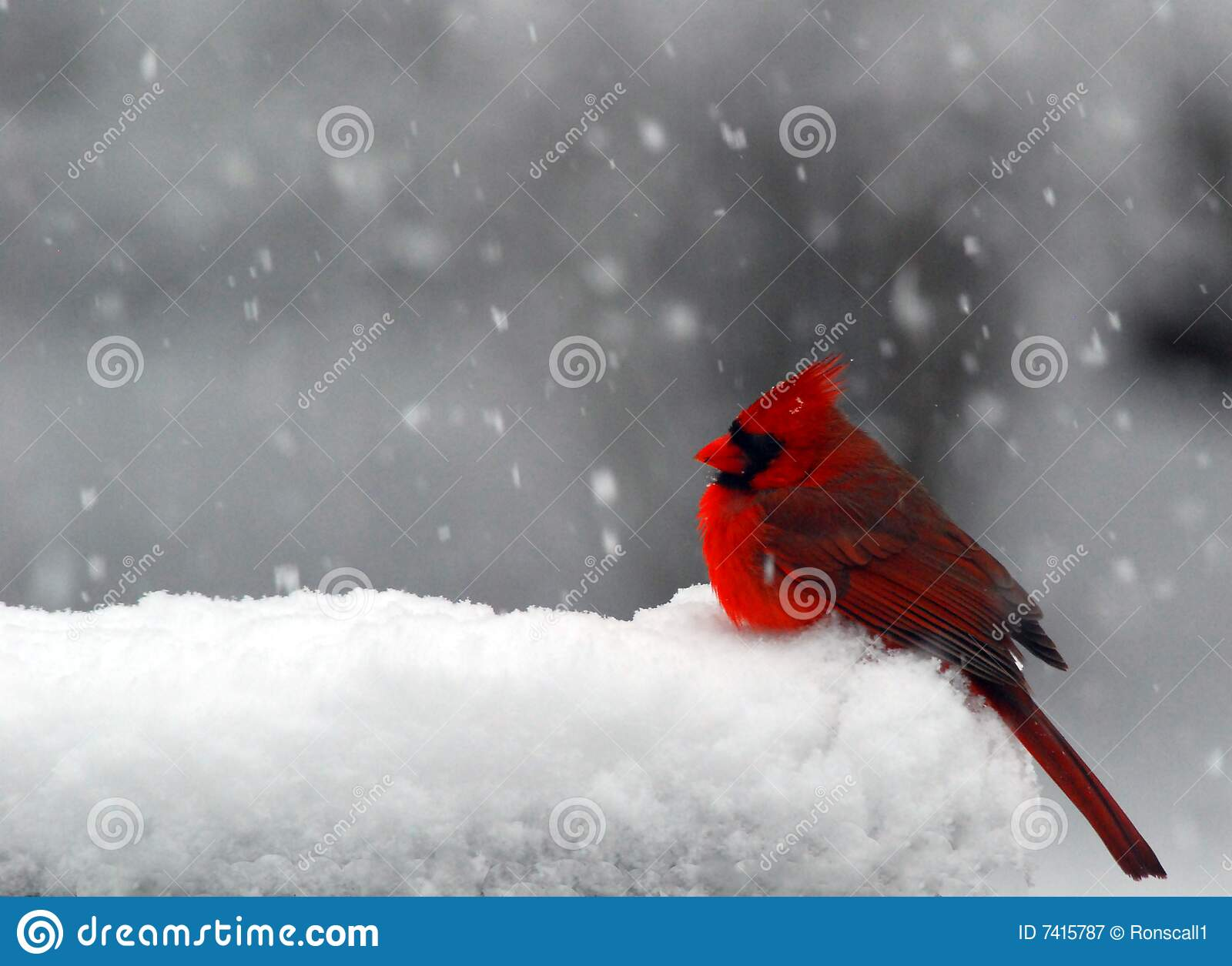 Falling Snow Wallpaper Widescreen Cardinal In Snow Stock Image Image Of Freezing Snow