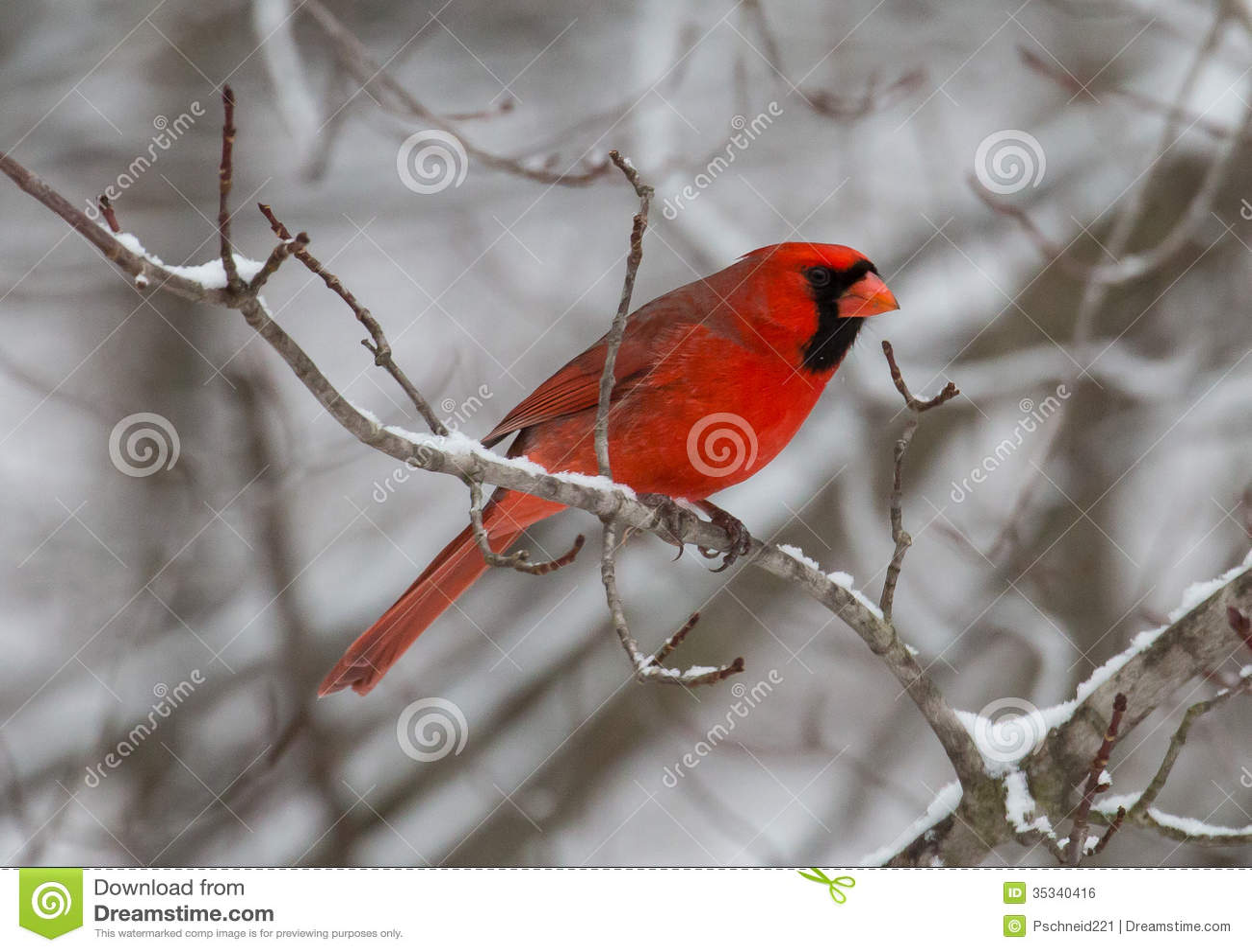Cute Moose Wallpaper Red Cardinal Bird In Winter Royalty Free Stock Image