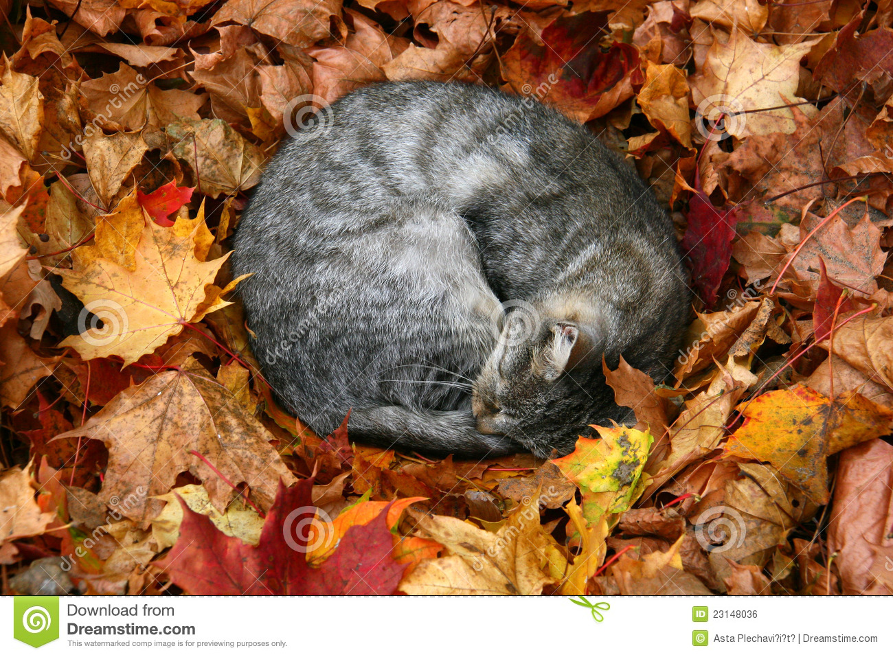 Autumn Leaf Fall Wallpaper Cat In Autumn Leaves Stock Photo Image Of Leaves Grey