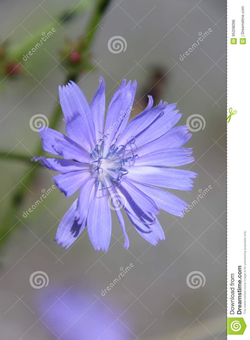 Fleur Jardin Chicory Stock Photo Image Of Flowers Jardin Leaf Amazing