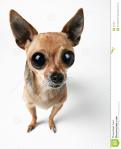 Chihuahua Puppies With Big Eyes