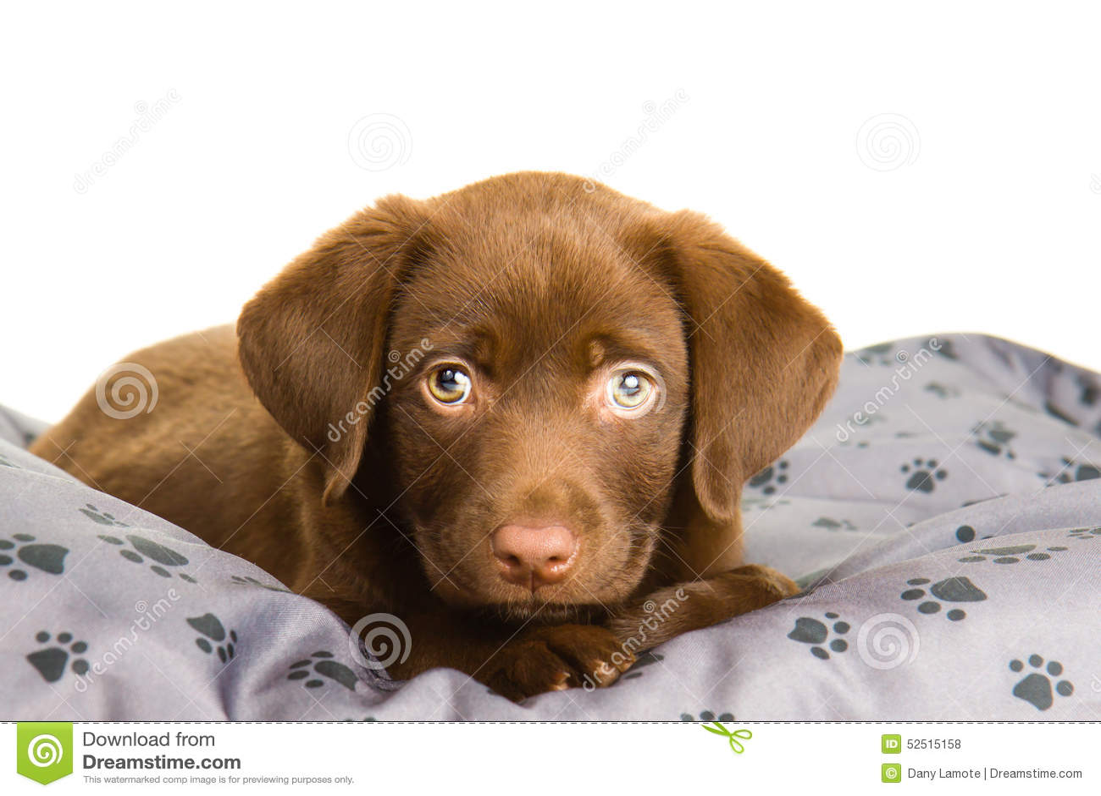 Cute Paw Print Wallpaper Chiot Brun Chocolat Mignon De Labrador Sur Un Oreiller