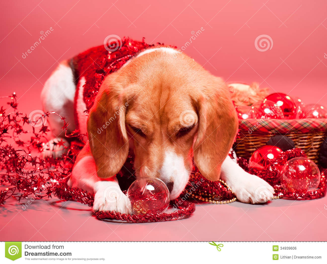Cute Dog Christmas Pics Wallpaper Christmas Beagle Stock Photo Image Of Canine Happy