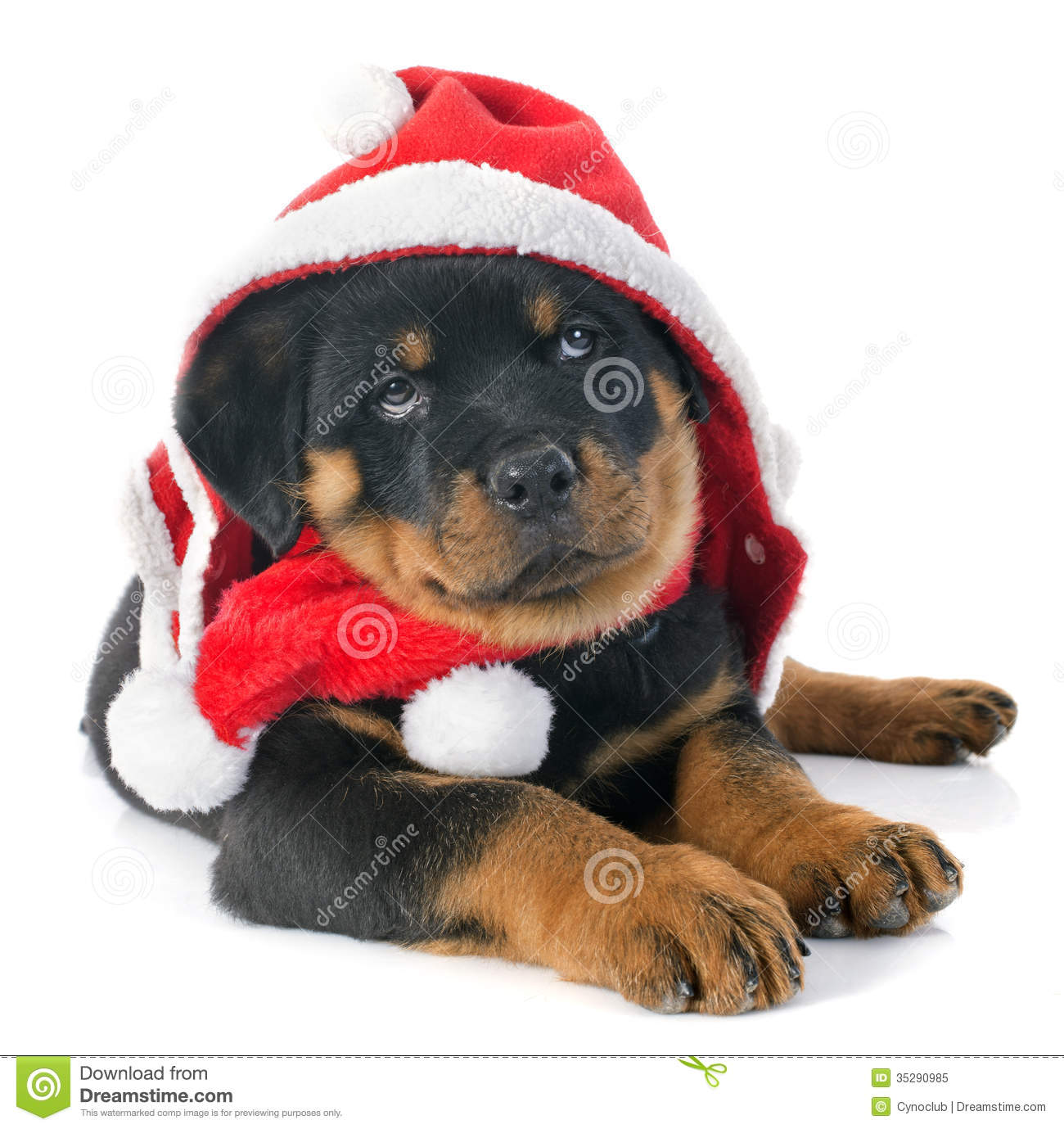 Cute Merry Christmas Wallpaper Dogs Christmas Rottweiler Royalty Free Stock Photo Image