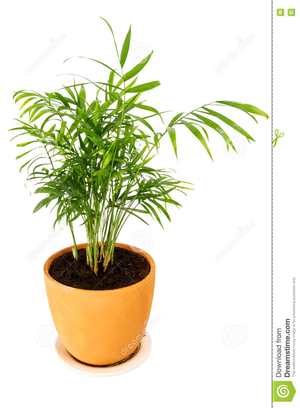 Chrysalidocarpus Lutescens Palm Tree Stock Image - Image ...