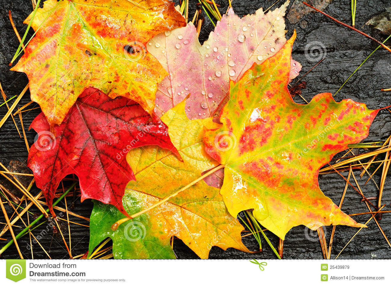 Fall Leaves Hd Wallpaper Close Up Of A Colorful Maple Leaves Stock Image Image Of