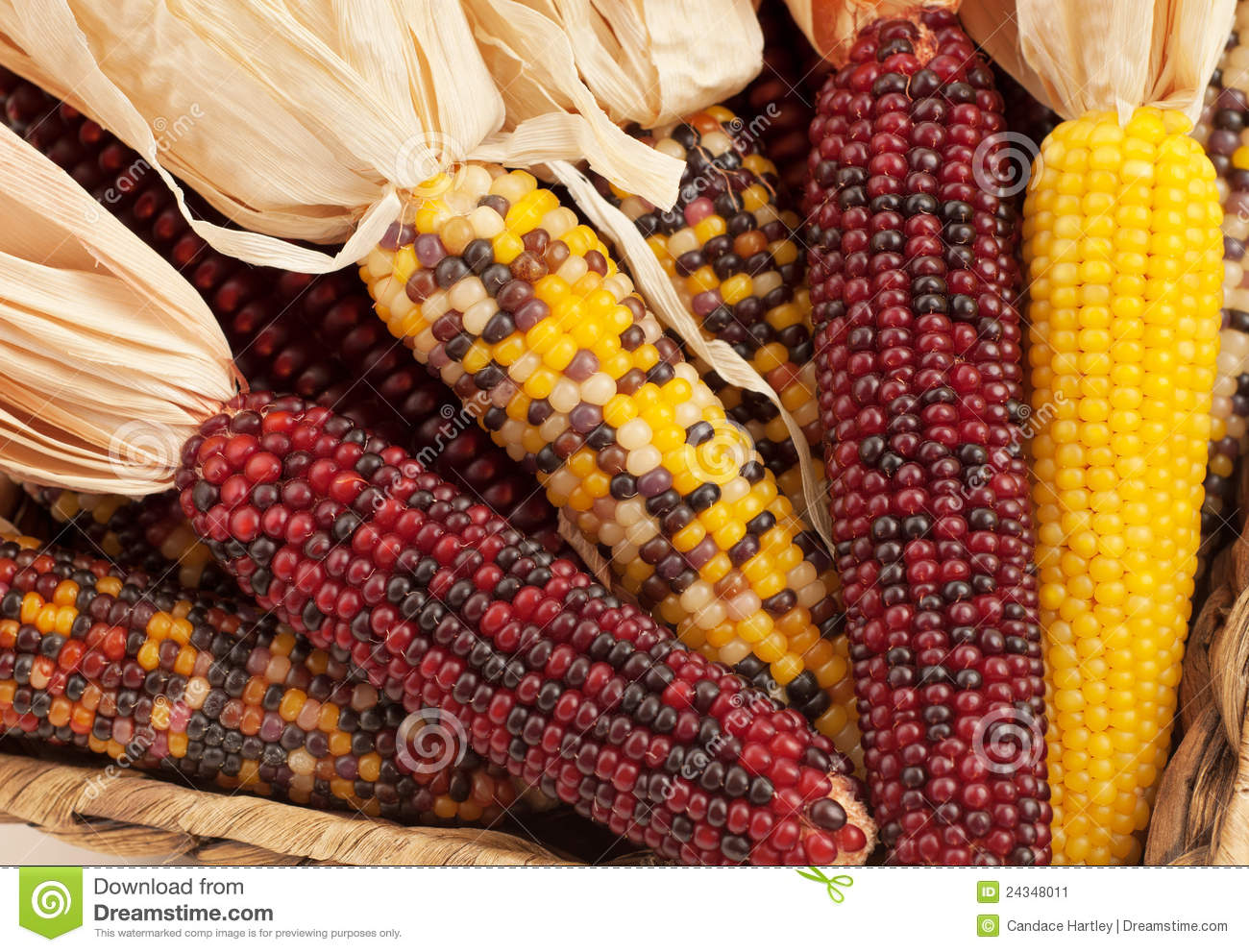 Fall Wallpaper Themes Close Up Of Dried Indian Corn In Fall Season Stock Image