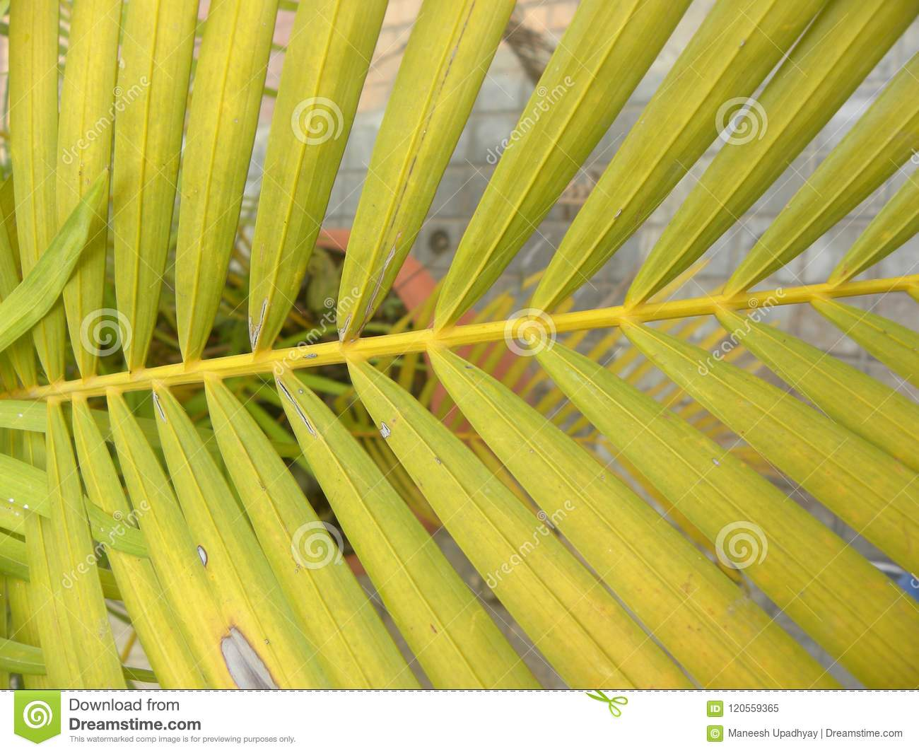 Yellow Color Leaves Of Areca Palm Plant Stock Image Image Of Forest Garden 120559365