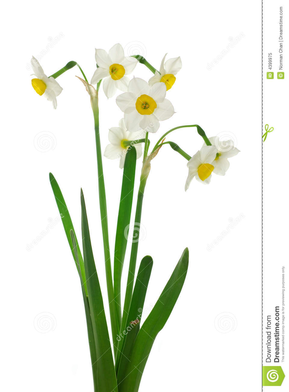 Daffodils Wallpaper Hd Close Up Of White Daffodils Royalty Free Stock Photo