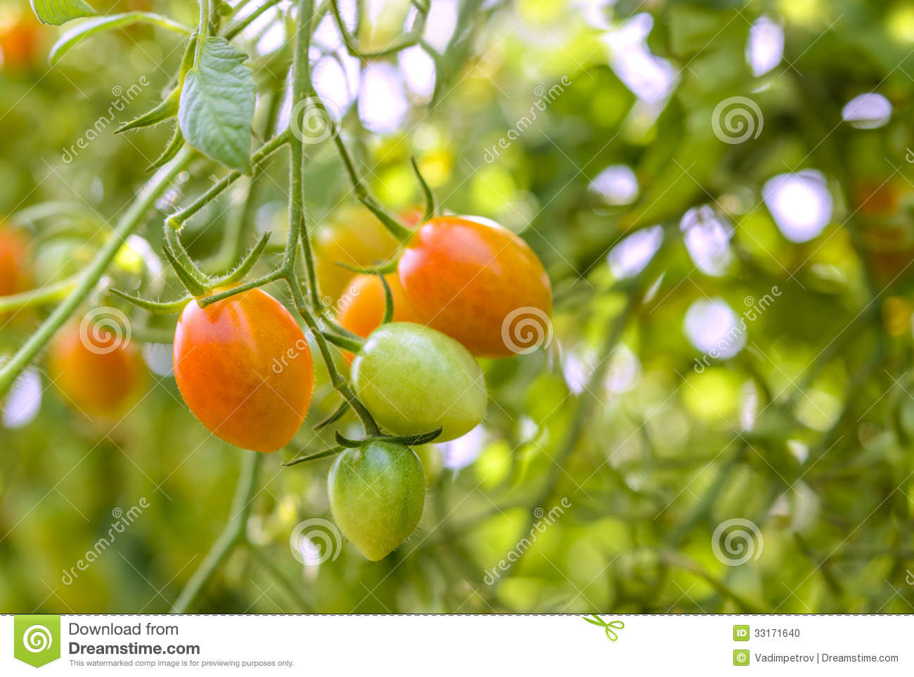 Center For Crop Diversification Growing And Marketing Closeup Of Growing Grape Tomatoes Stock Photo Image