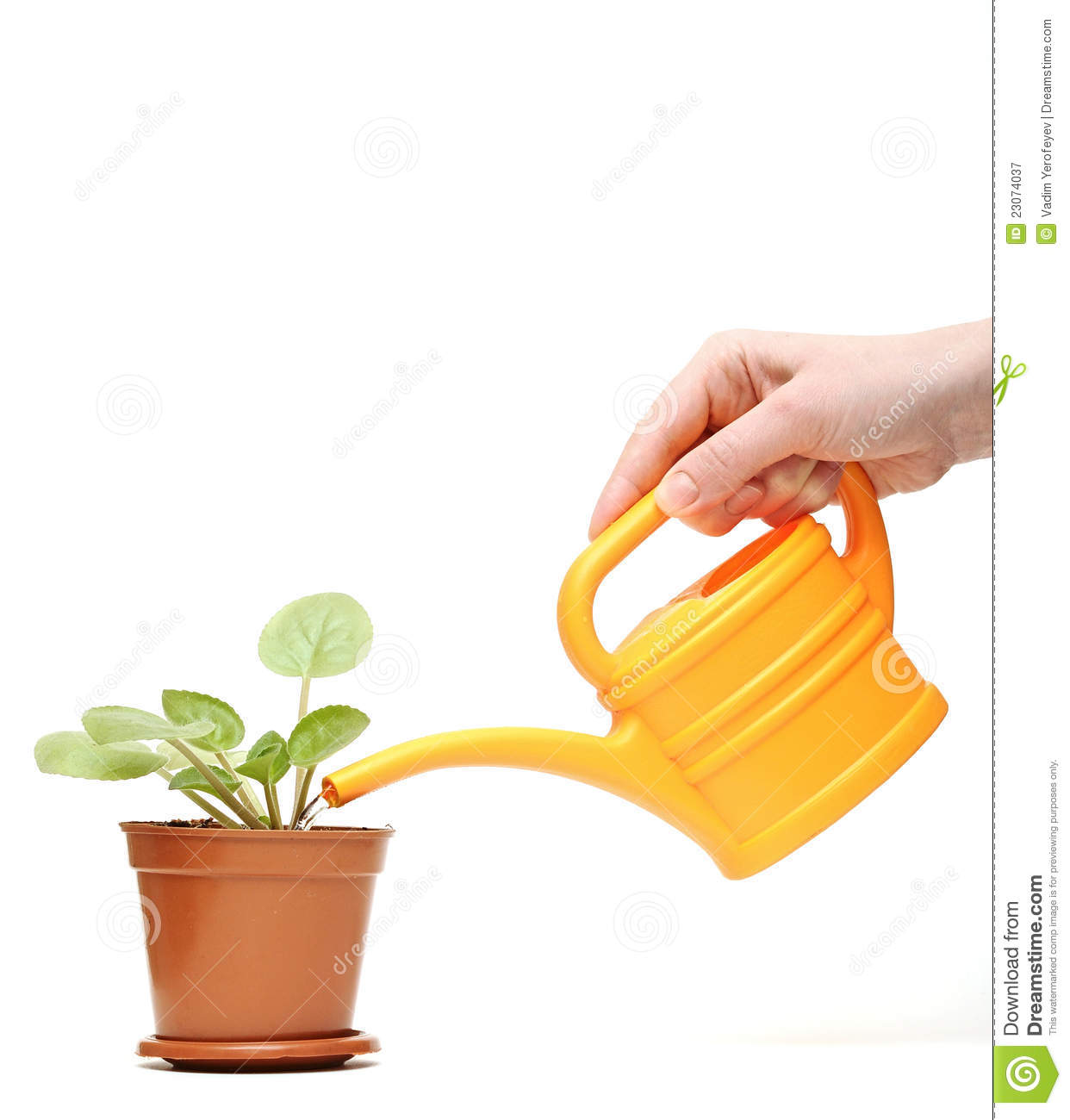 Plant Watering Cans Closeup Hand Watering A Plant With Watering Can Stock