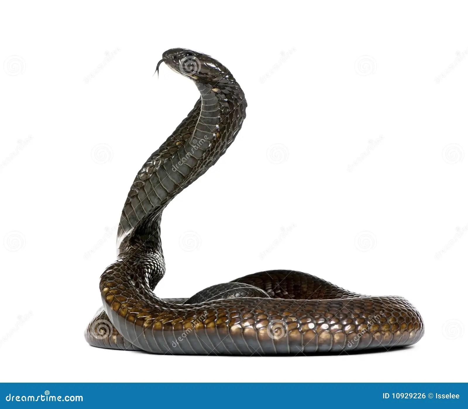 3d Animated Snake Live Wallpaper Cobra Egipcia Delante De Un Fondo Blanco Foto De Archivo