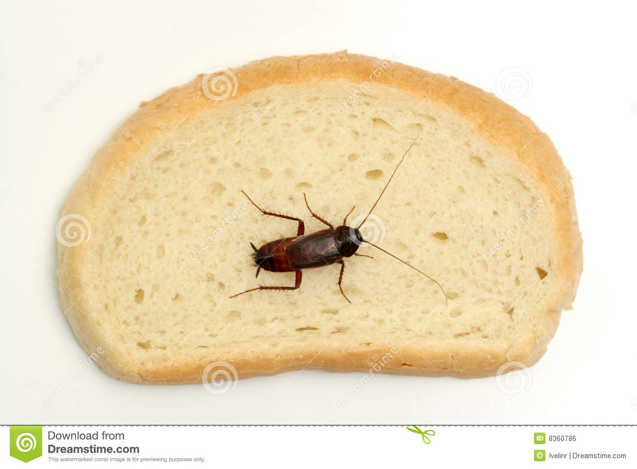 Bild Küchenschabe Cockroach On A Slice Of Bread Stock Photo Image 8360786