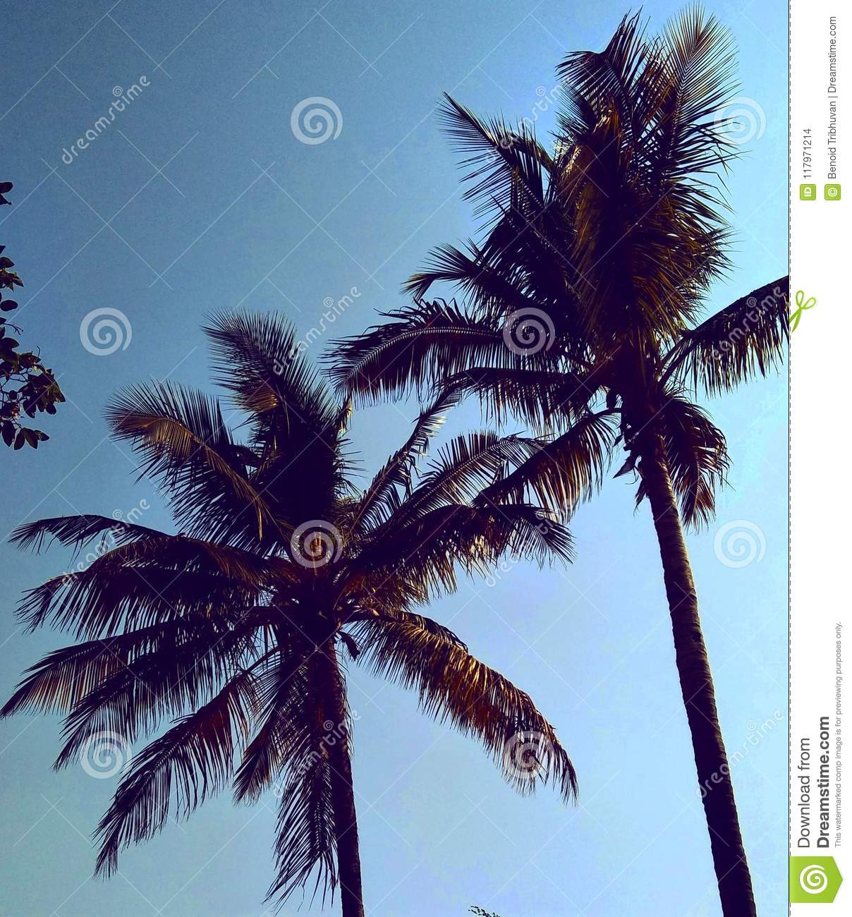 Palm Tree Wallpapers Palm Tree Stock Photo Image Of Blue Wallpapers Coconut 117971214