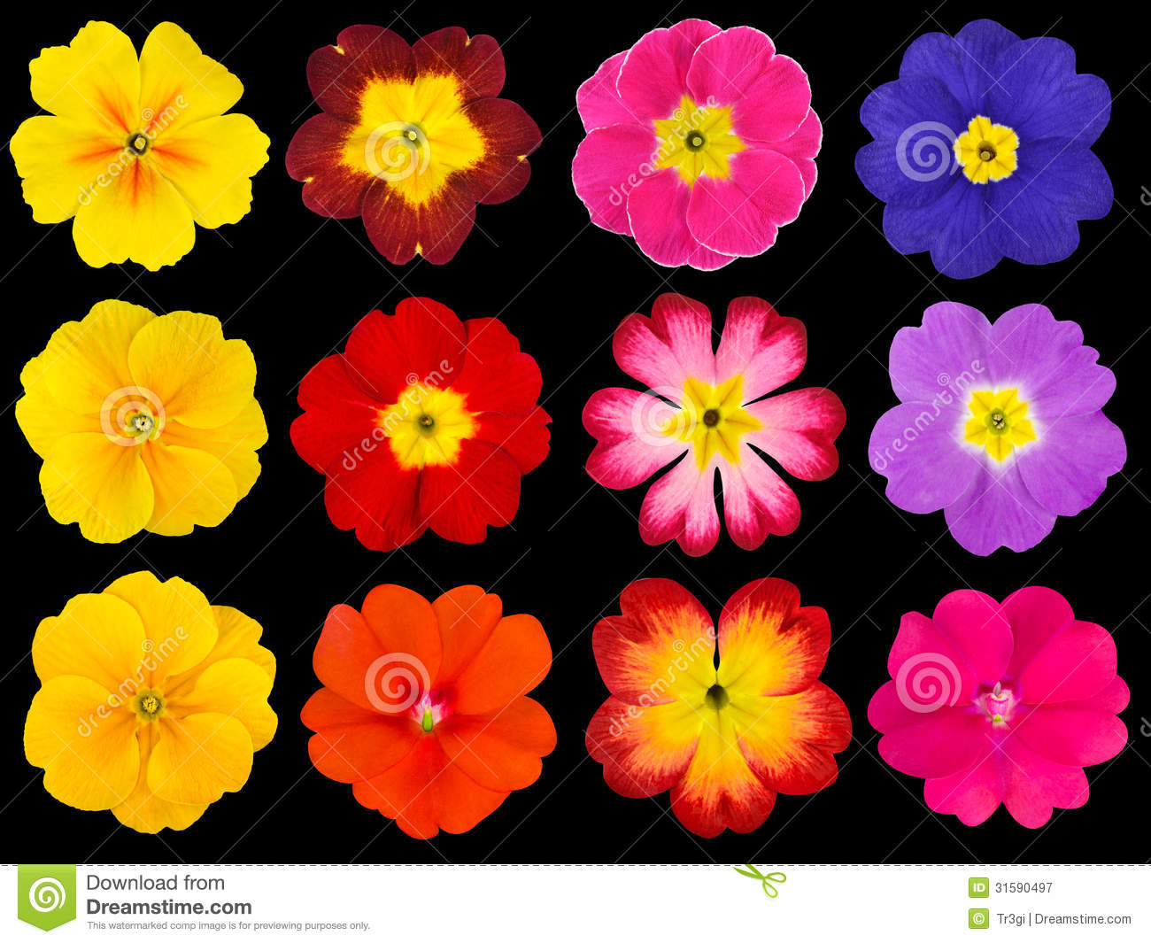 3d Colours Wallpaper Heart Collection Of Colorful Primroses Isolated On Black Royalty