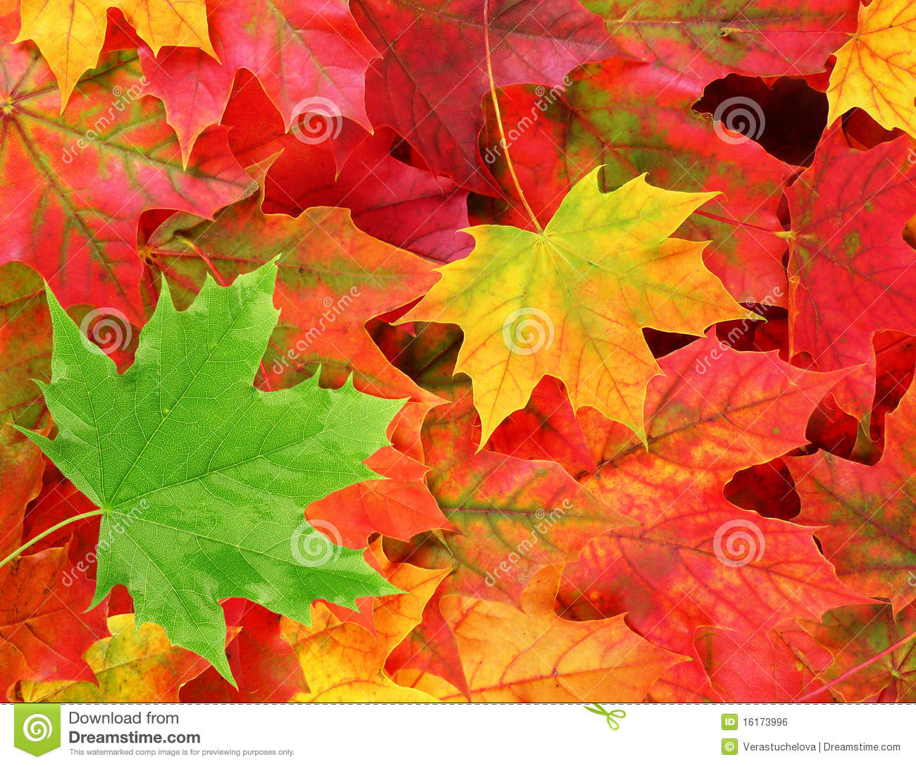 Fall Leaves Wallpaper Powerpoint Background Colored Maple Leaves With One Green Leaf Stock Photo