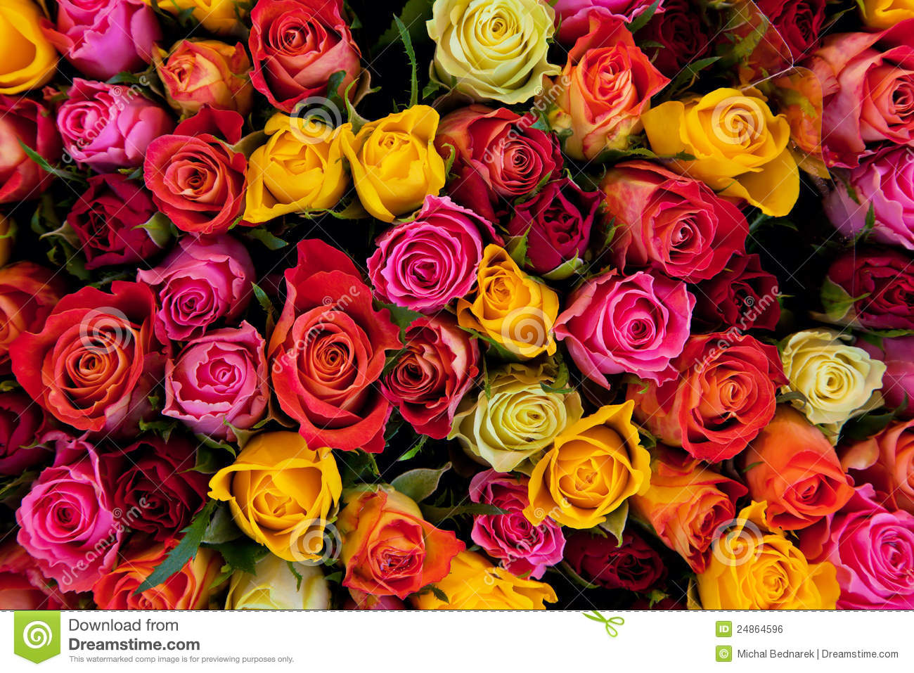 Iphone 6 Orange Flower Wallpaper Colorful Roses Background Stock Photo Image Of Flower