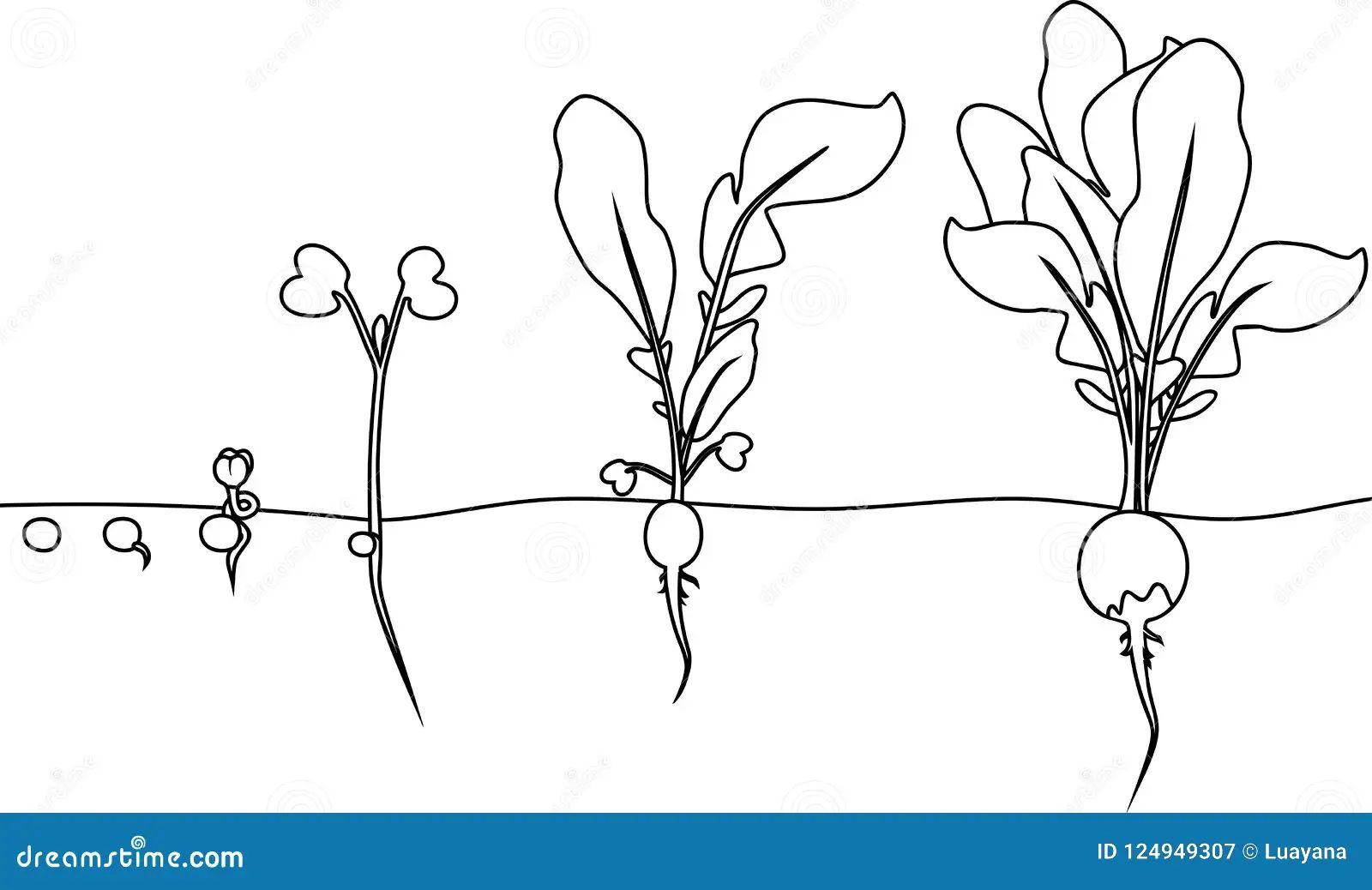 radish life cycle diagram
