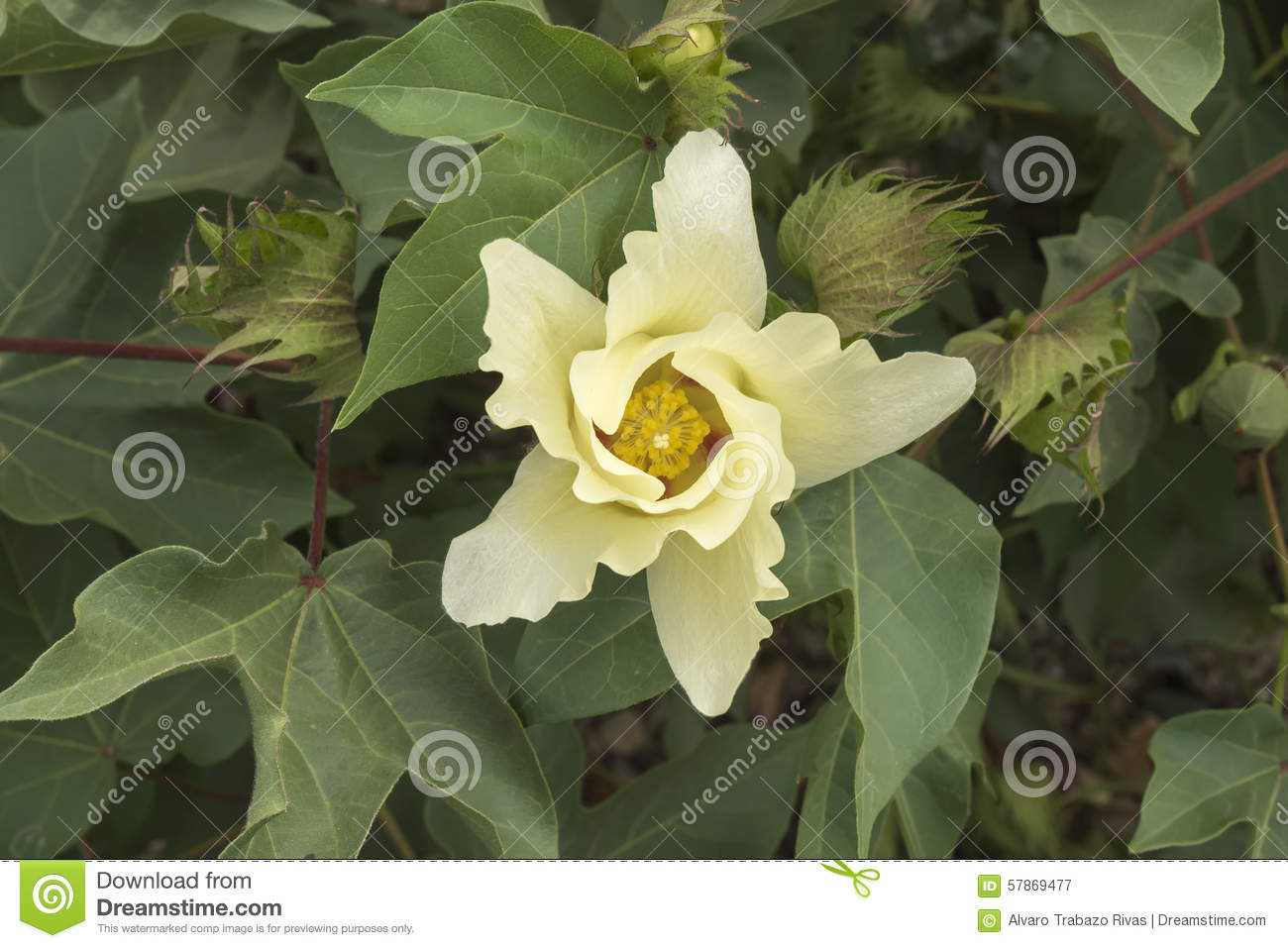 Pianta Del Cotone Immagini Bud Of Plant Royalty Free Stock Photo Cartoondealer