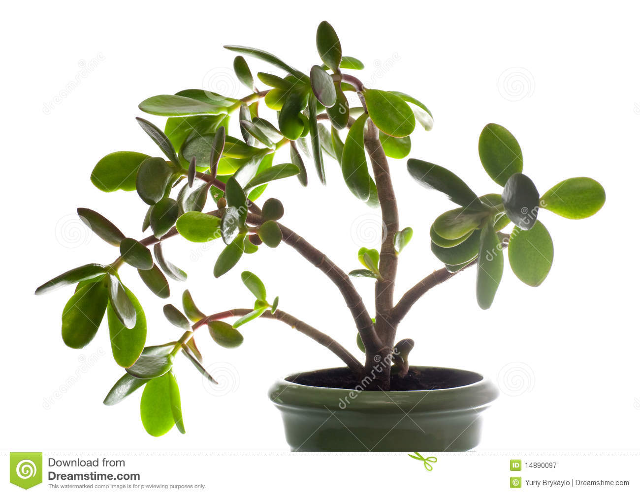 Jade Pflanze Crassula Dollar Tree Plant Isolated On White Royalty