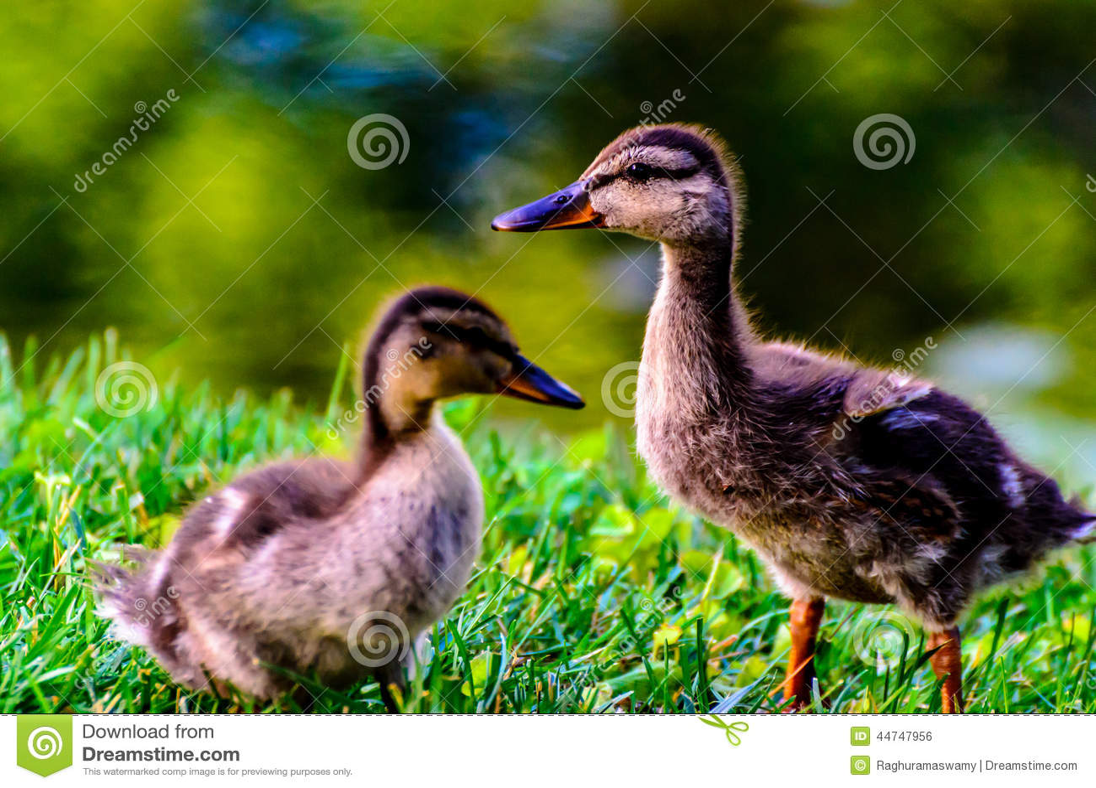 Cute Duckling Wallpaper Cute Baby Mallard Ducks