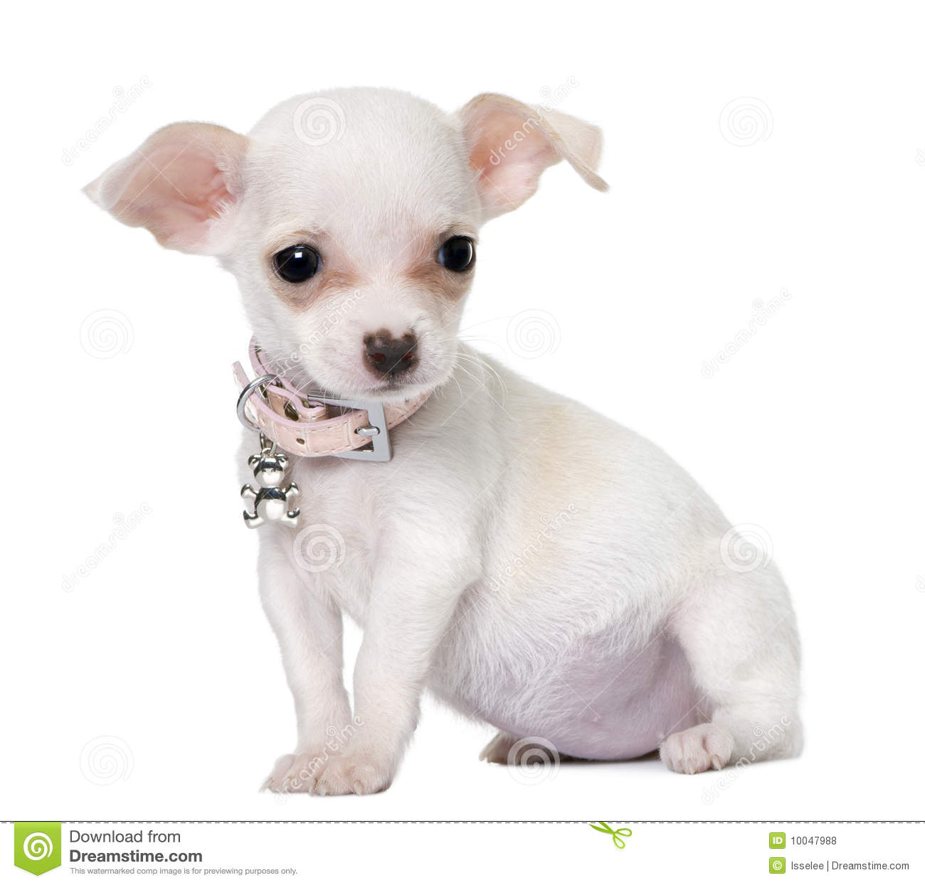 Bettwäsche Dog Side Cute Chihuahua Puppy 3 Months Old Stock Photo Image