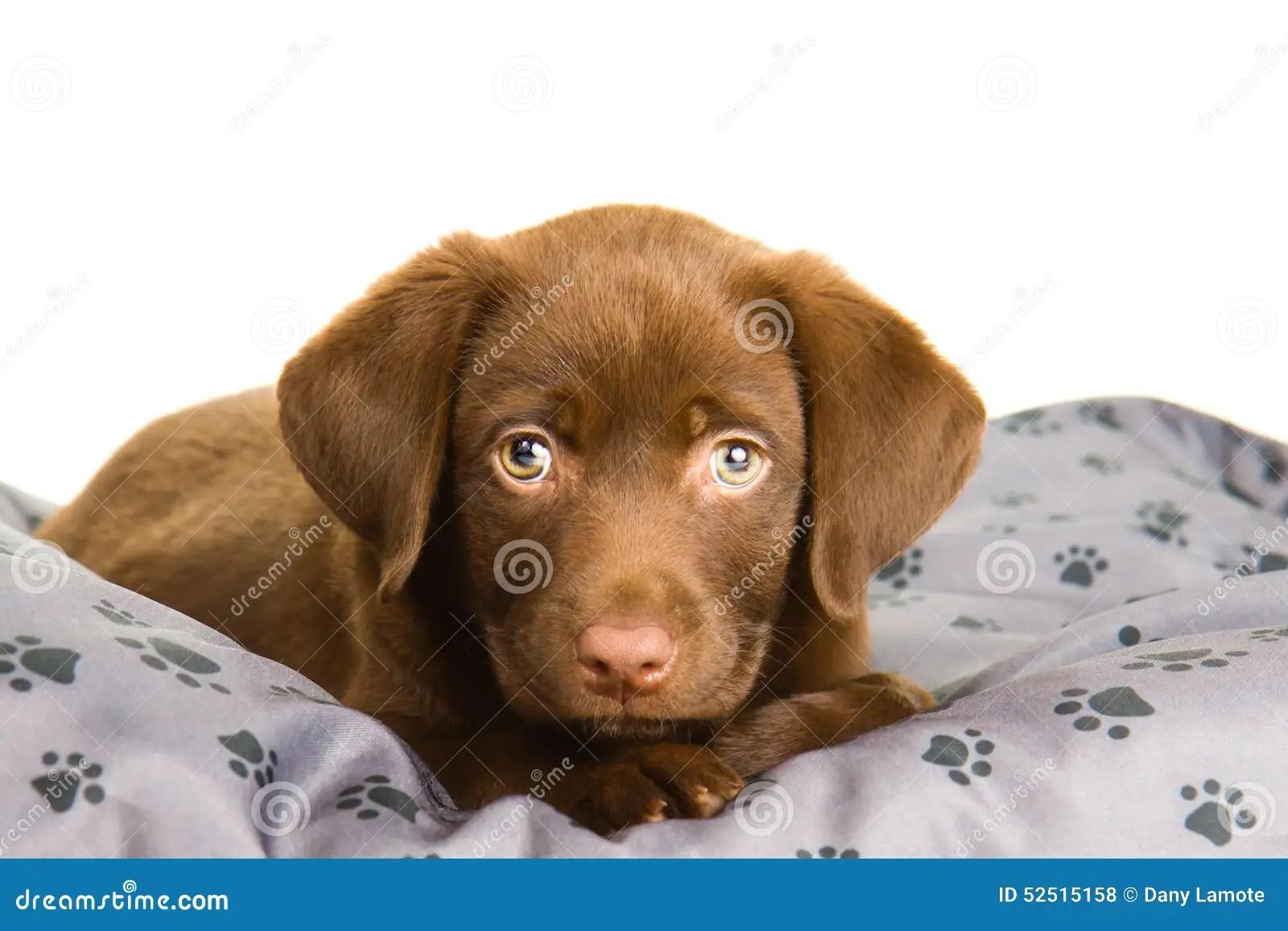 Cute Paw Print Wallpaper Cute Chocolate Brown Labrador Puppy Dog On A Grey Pillow
