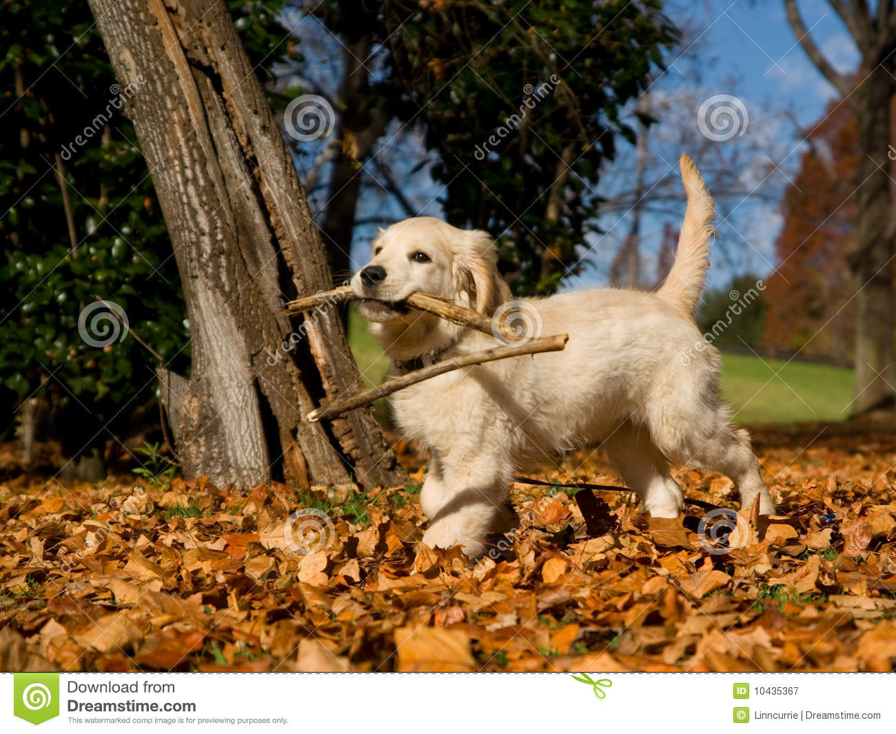 Puppies In Fall Wallpaper Cute Golden Retriever Puppy With Stick Royalty Free Stock