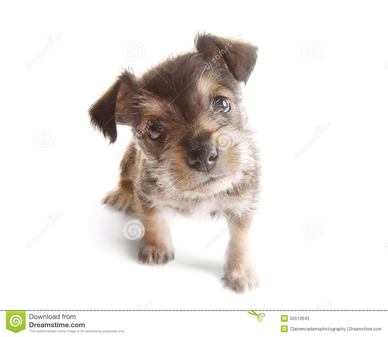 Image For The Chorkie A Chihuahua Yorkshire Terrier Mix Breed