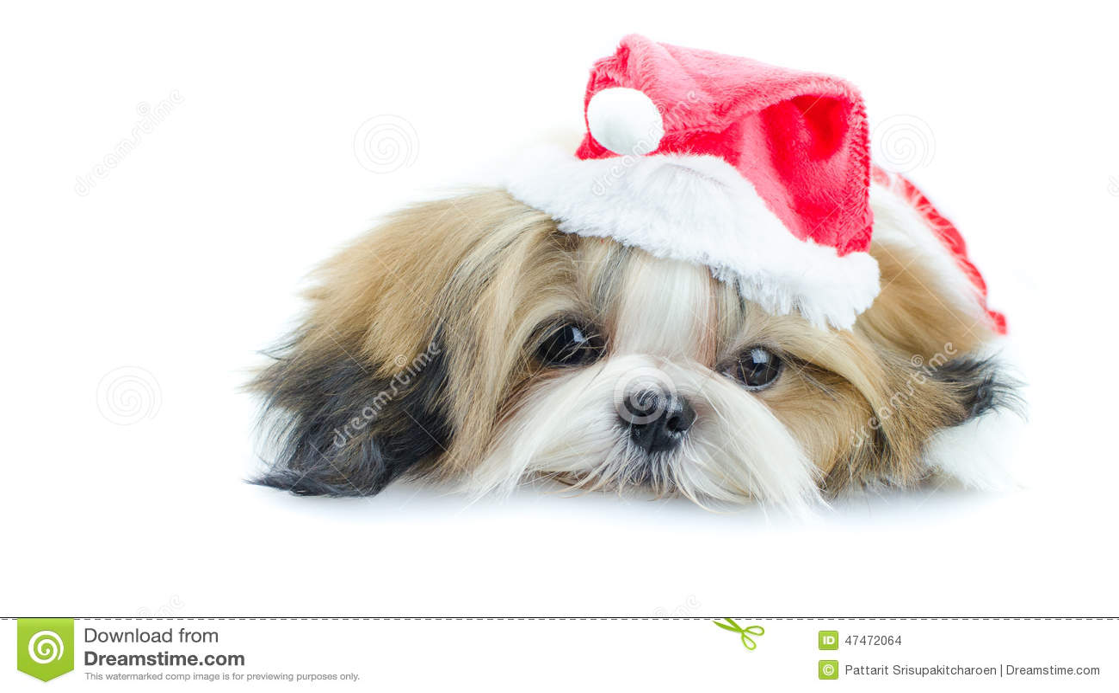 Cute Shih Tzu Puppies Wallpaper Cute Shih Tzu Puppy In Christmas Theme Stock Photo Image