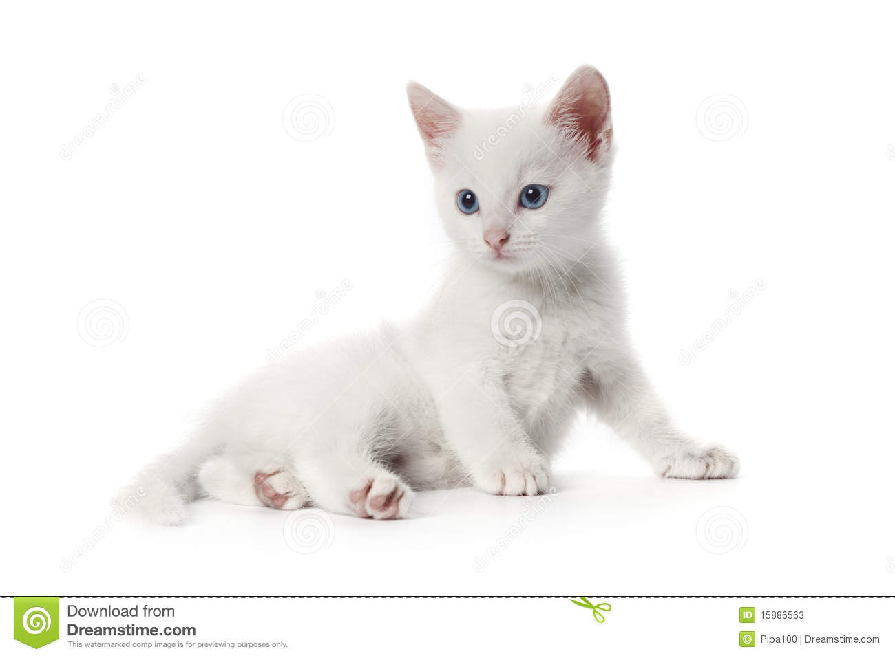 Green Animal Print Wallpaper Cute White Kitten With Blue Eyes Stock Image Image 15886563