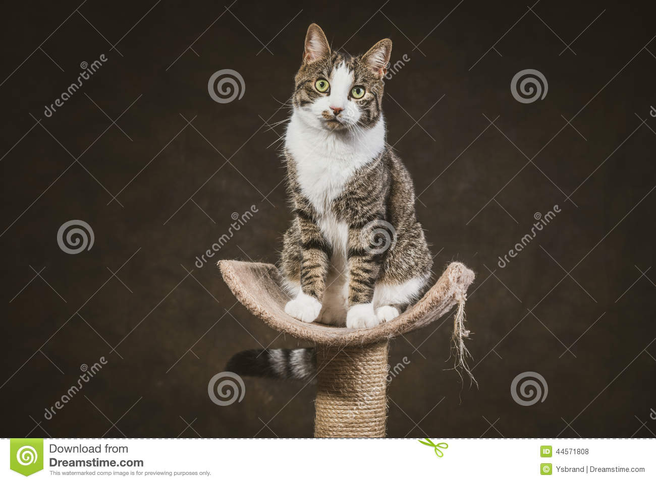 White Cat Scratching Post Cute Young Tabby Cat With White Chest Sitting On