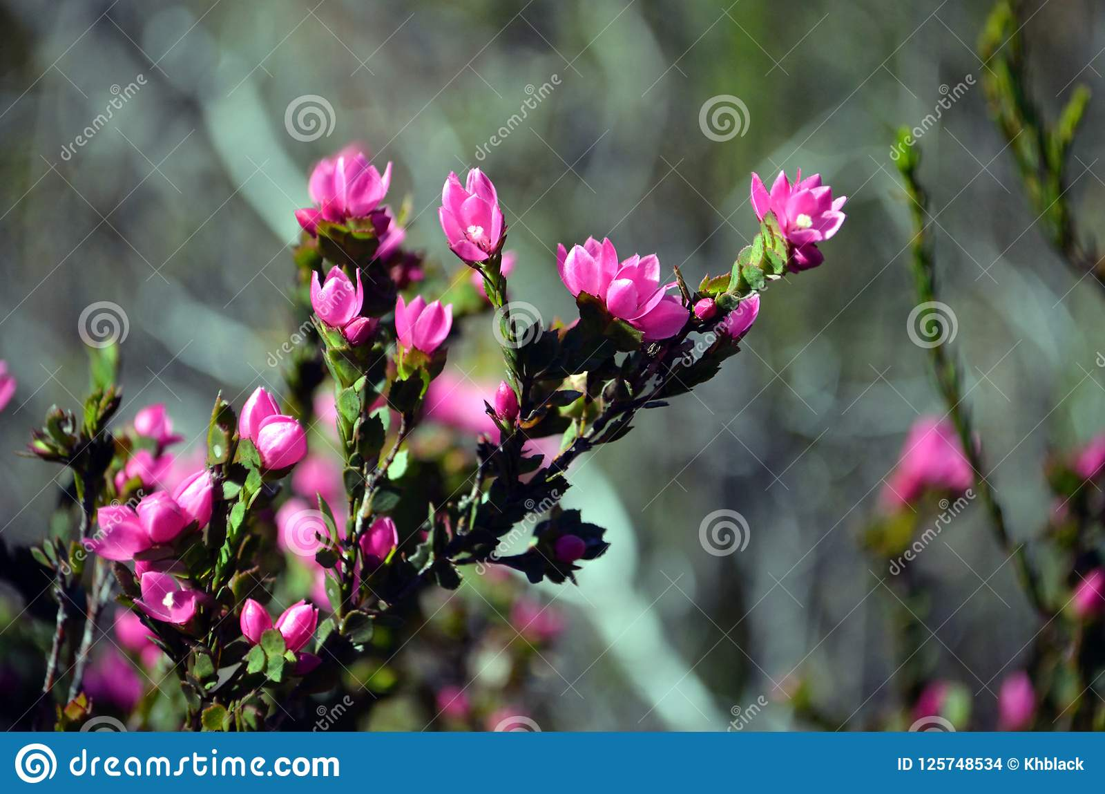 Pink Flowers Australia Deep Pink Flowers Of The Australian Native Rose Stock Photo