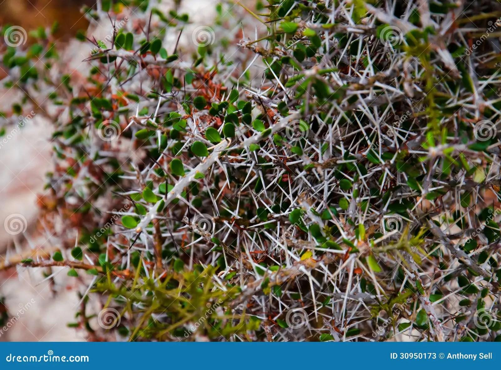 Desert Thorns Stock Image Image Of Twigs Stems Floor