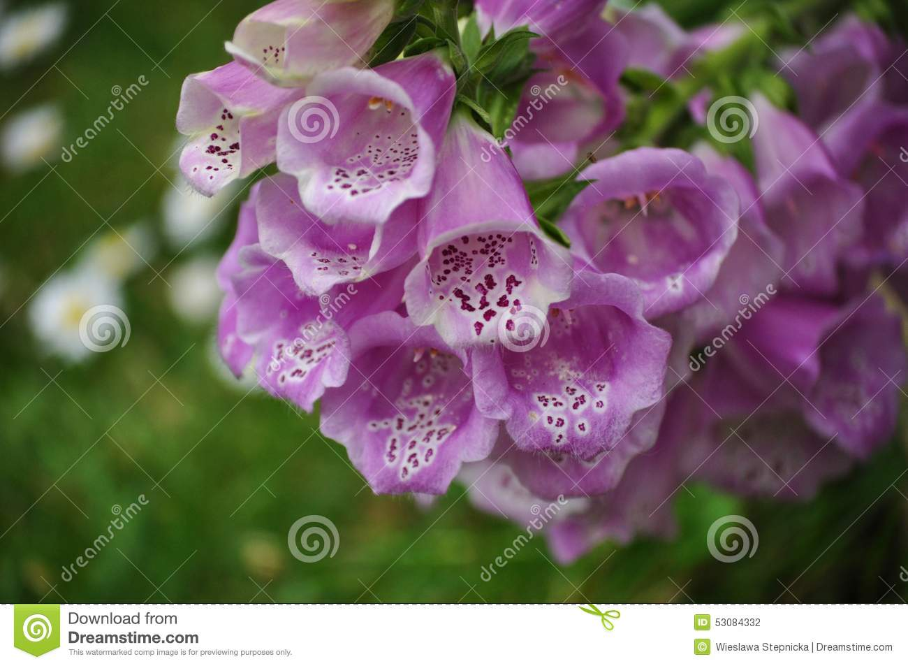 Inside Plants Digitalis Purpurea Bell Shaped Flowers Stock Photo