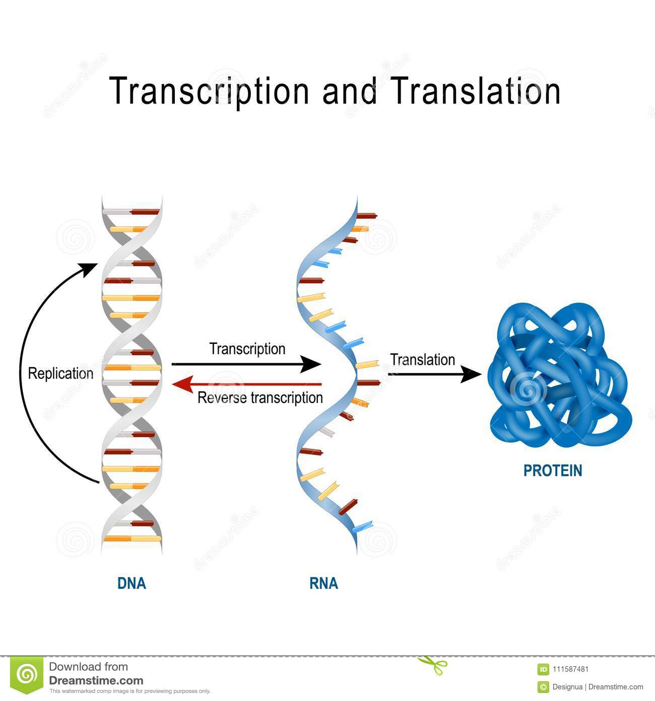 replication transcription translation