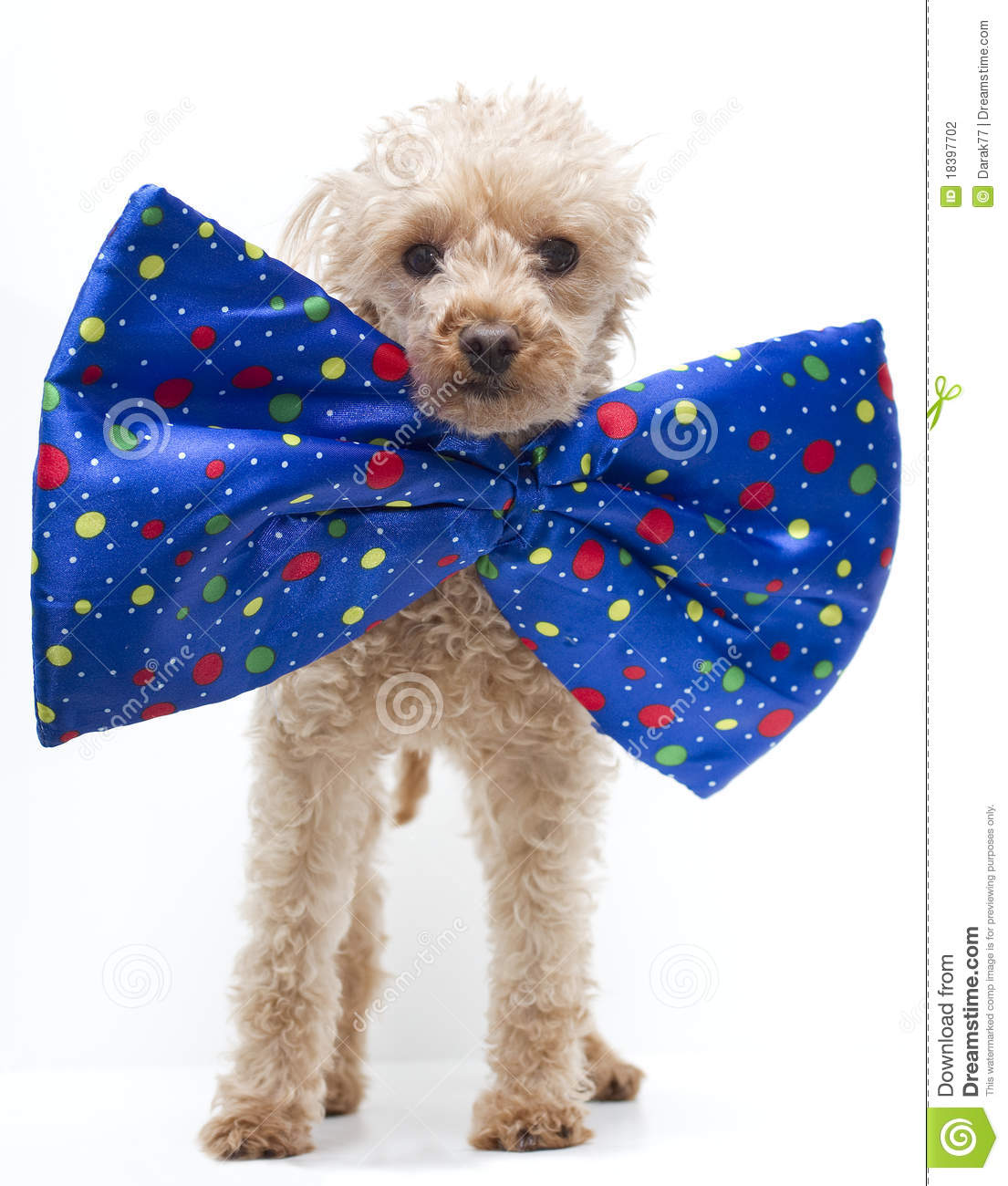 Big W Bow Tie Dog In Big Bow Tie Stock Photography Image 18397702
