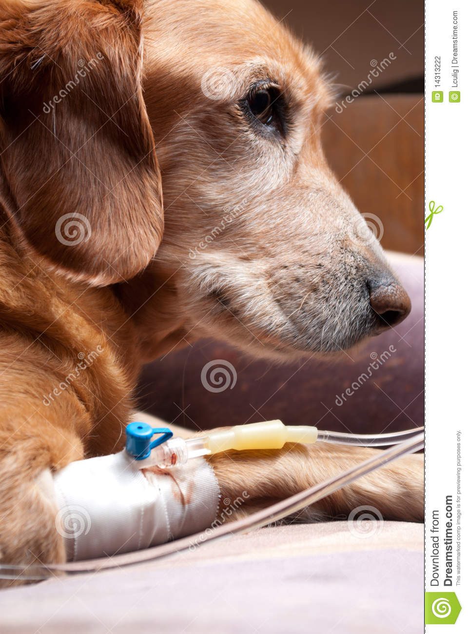 Yellow Sofa Dog Recovering With Cannula Intravenous Therapy Stock