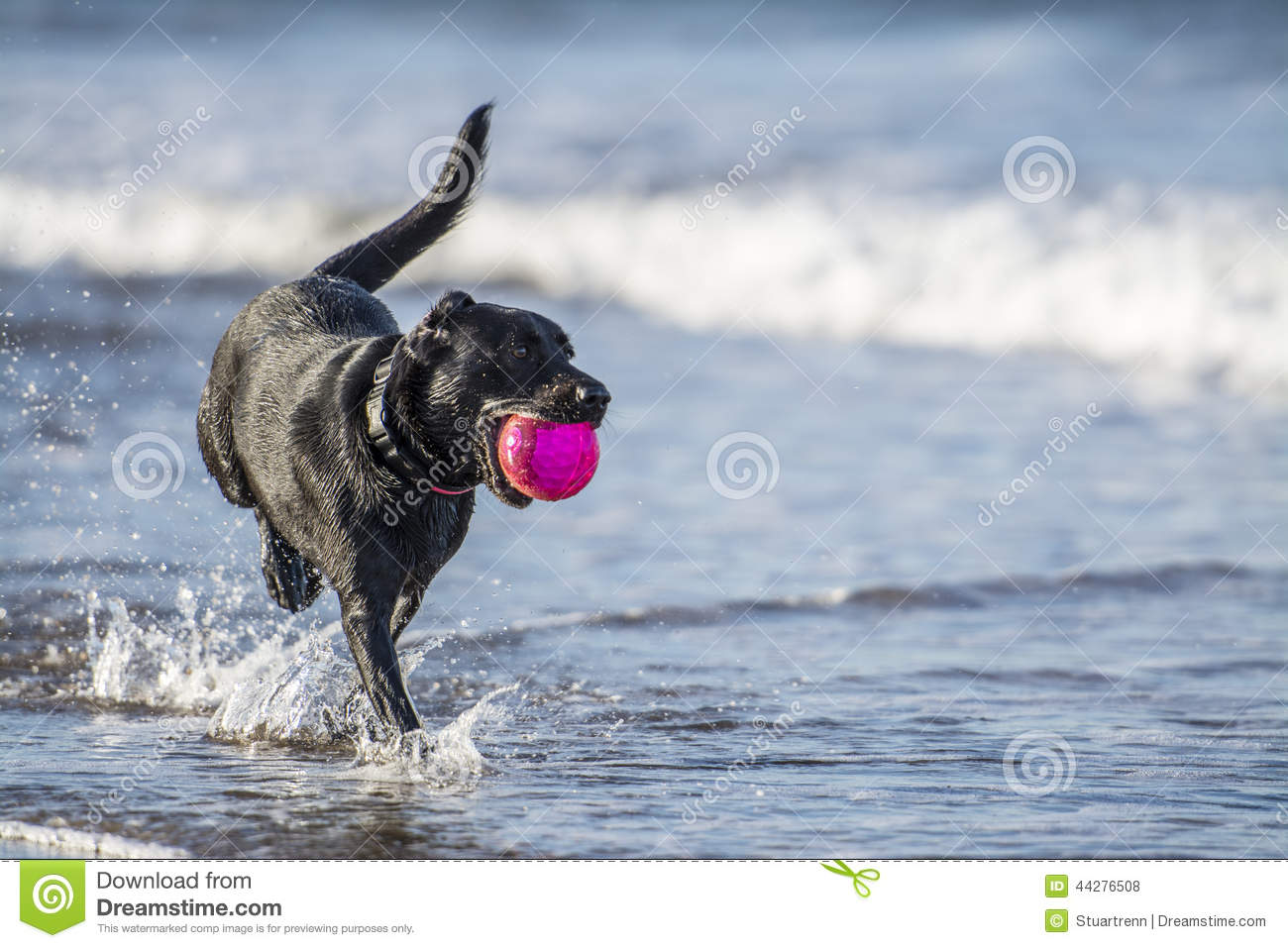 Black Lab Dog Running Dog Running In Sea Carrying Ball With Copy Space Stock